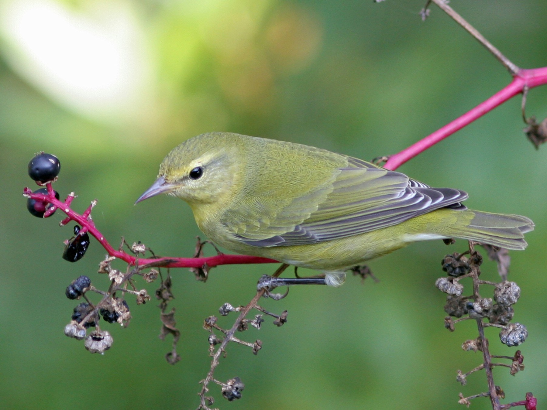 Tennessee Warbler - David Disher