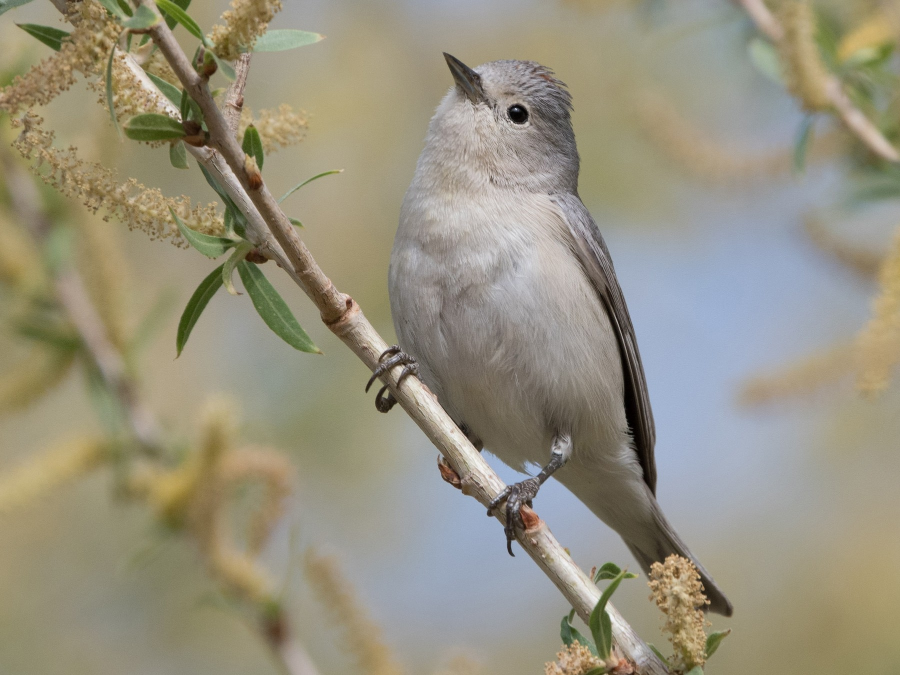 Lucy's Warbler - William Higgins