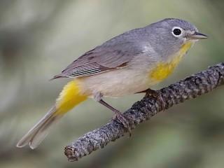 - Virginia's Warbler