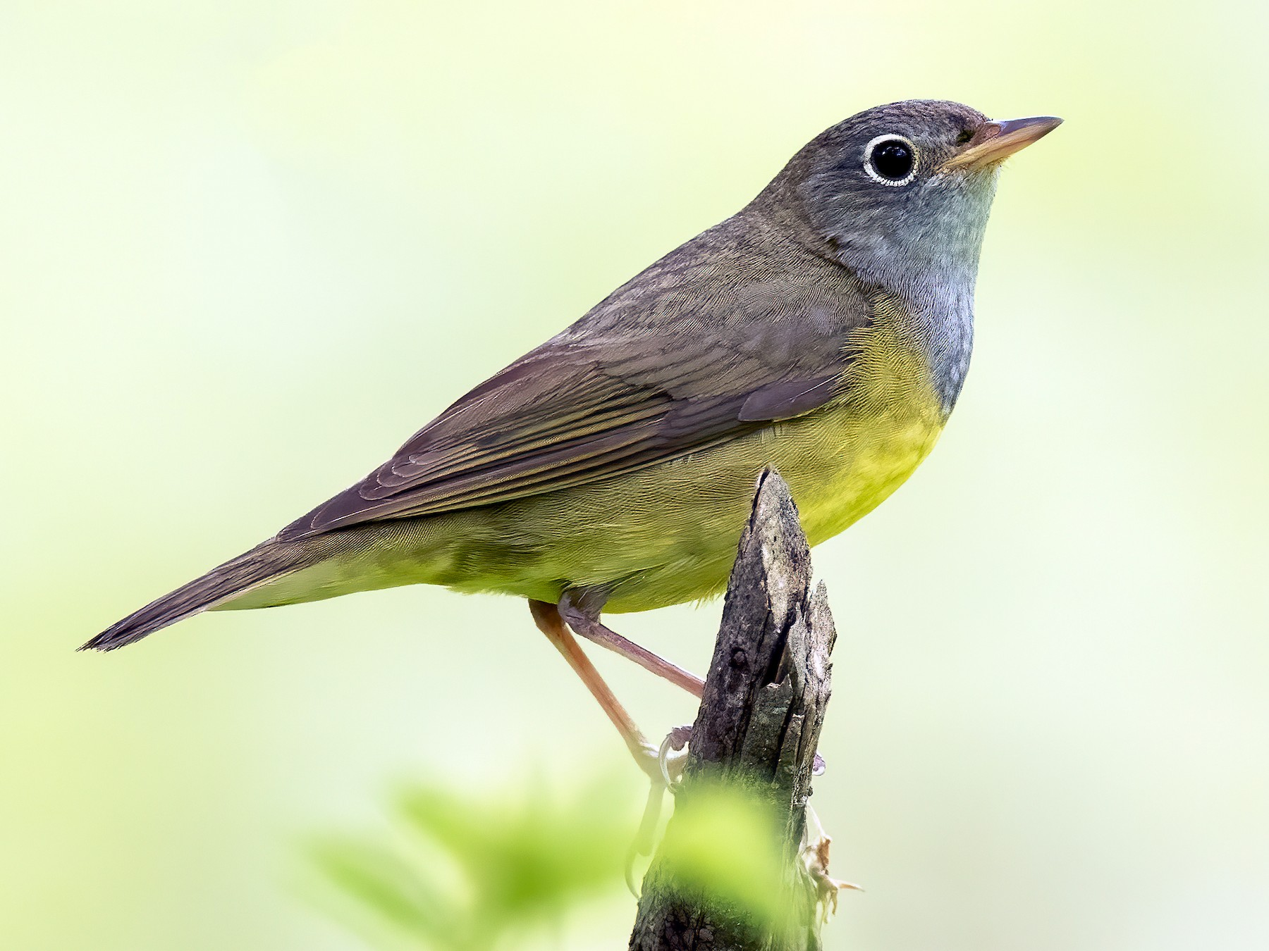 Connecticut Warbler - Ryan Sanderson