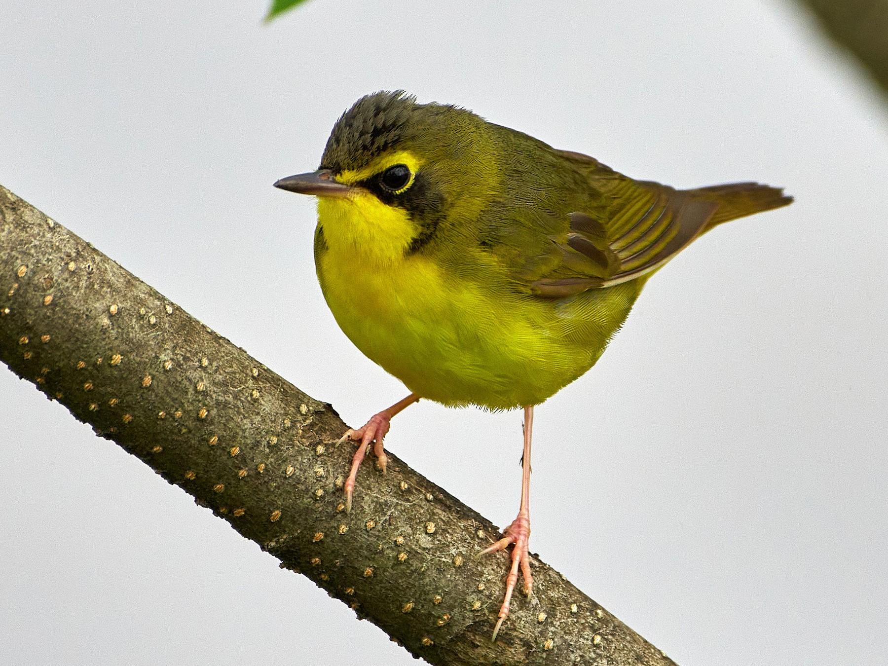 Kentucky Warbler - Pam Linge