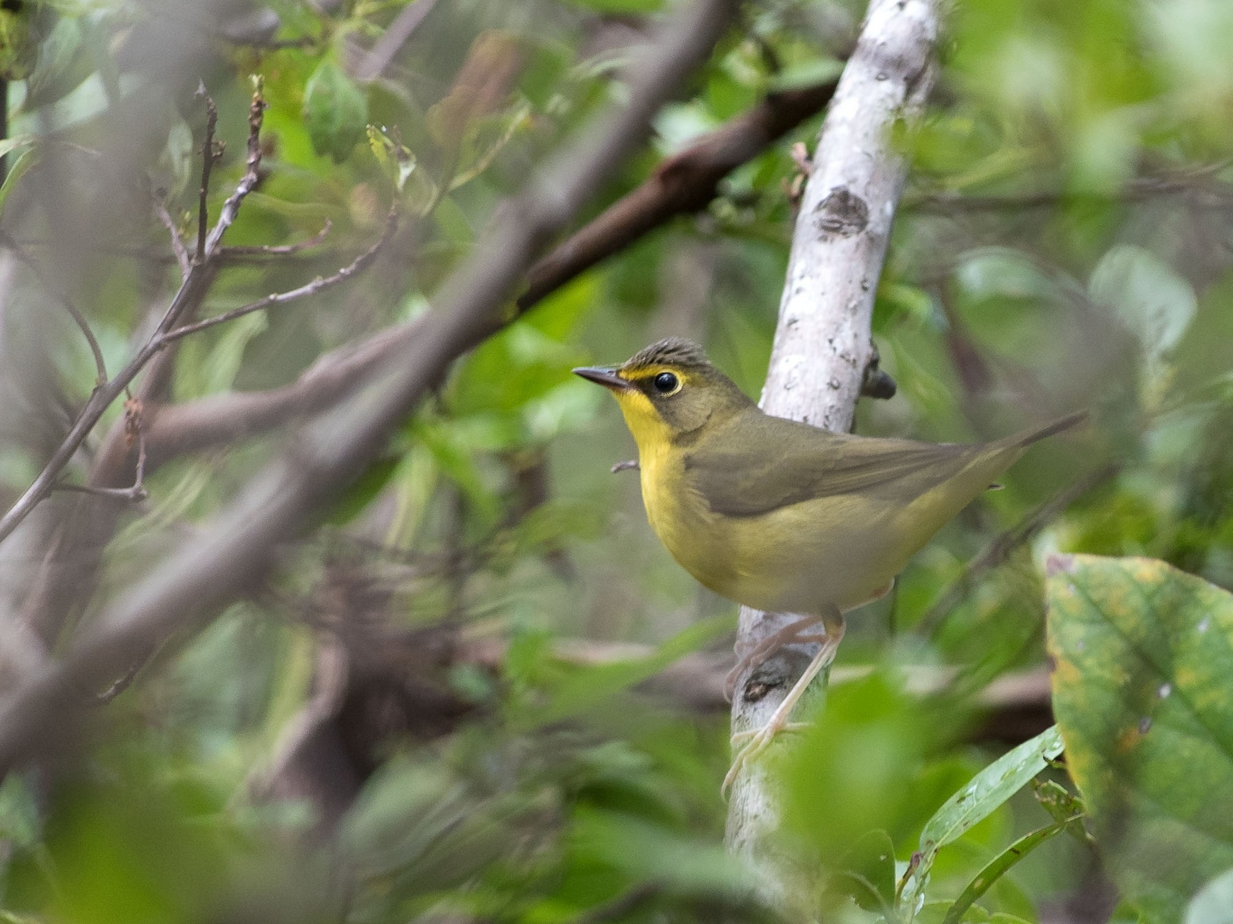 Kentucky Warbler - Denny Swaby