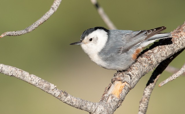 White-breasted Nuthatch (Interior West)