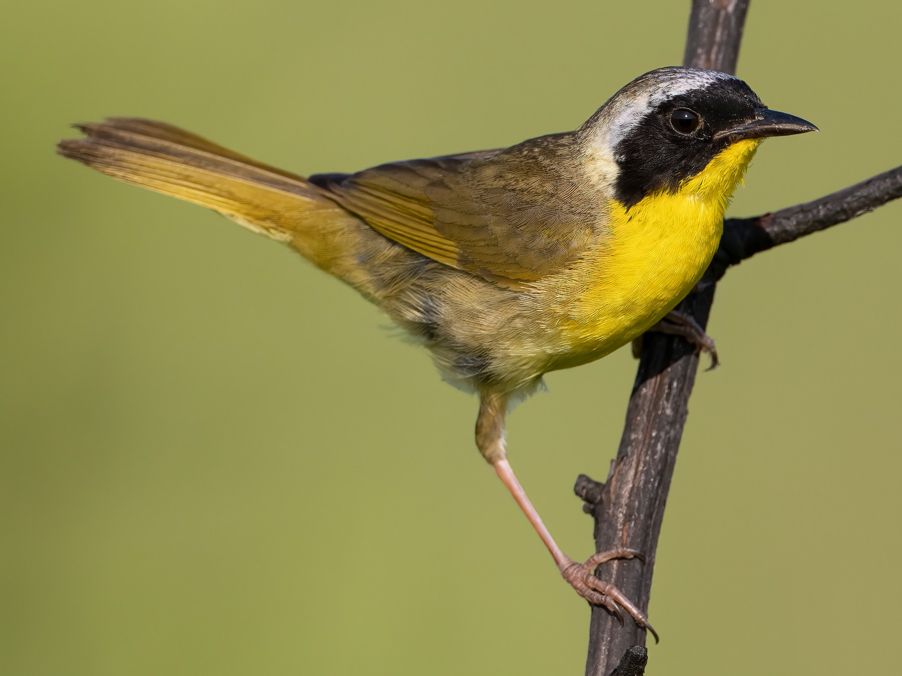Common Yellowthroat - Ryan Sanderson