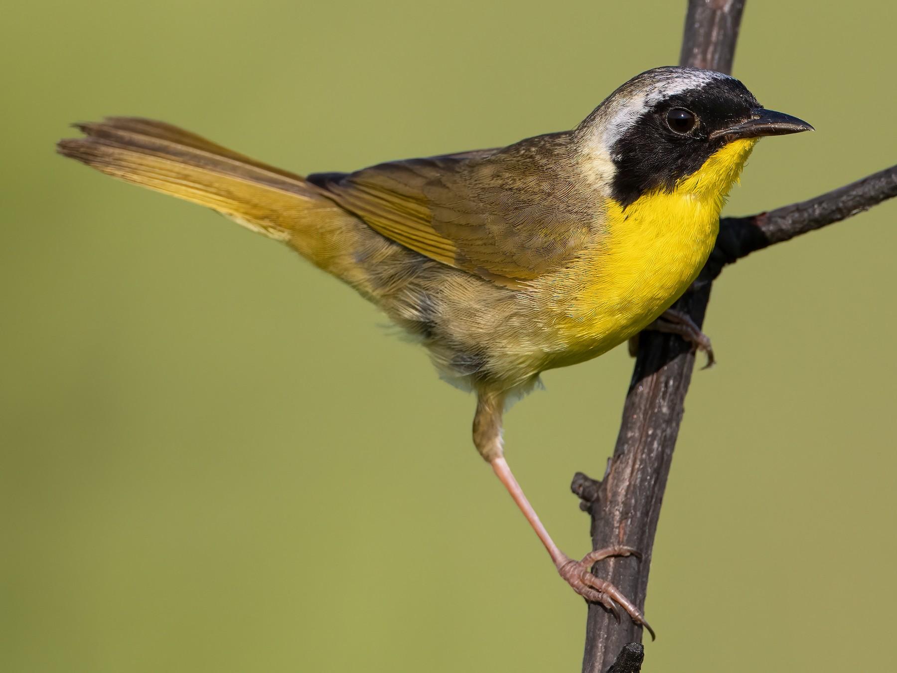 Common Yellowthroat - Ryan Sanderson