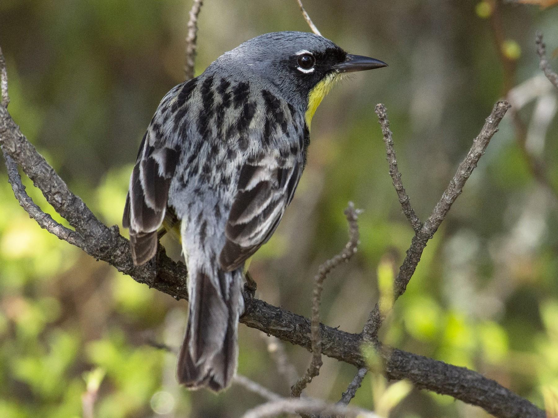 Kirtland's Warbler - Marky Mutchler