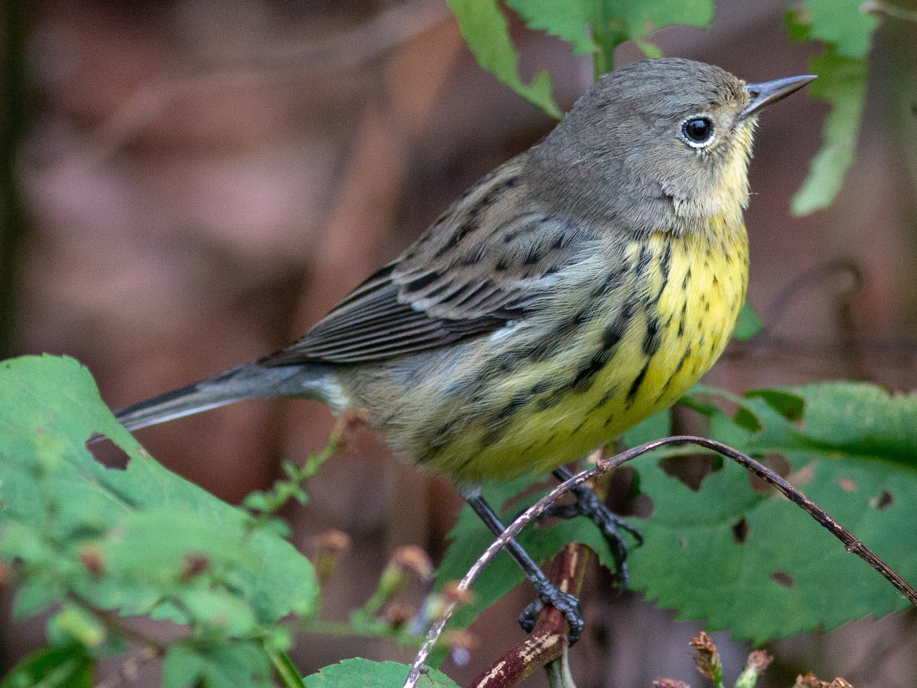 Kirtland's Warbler - Jeff O'Connell