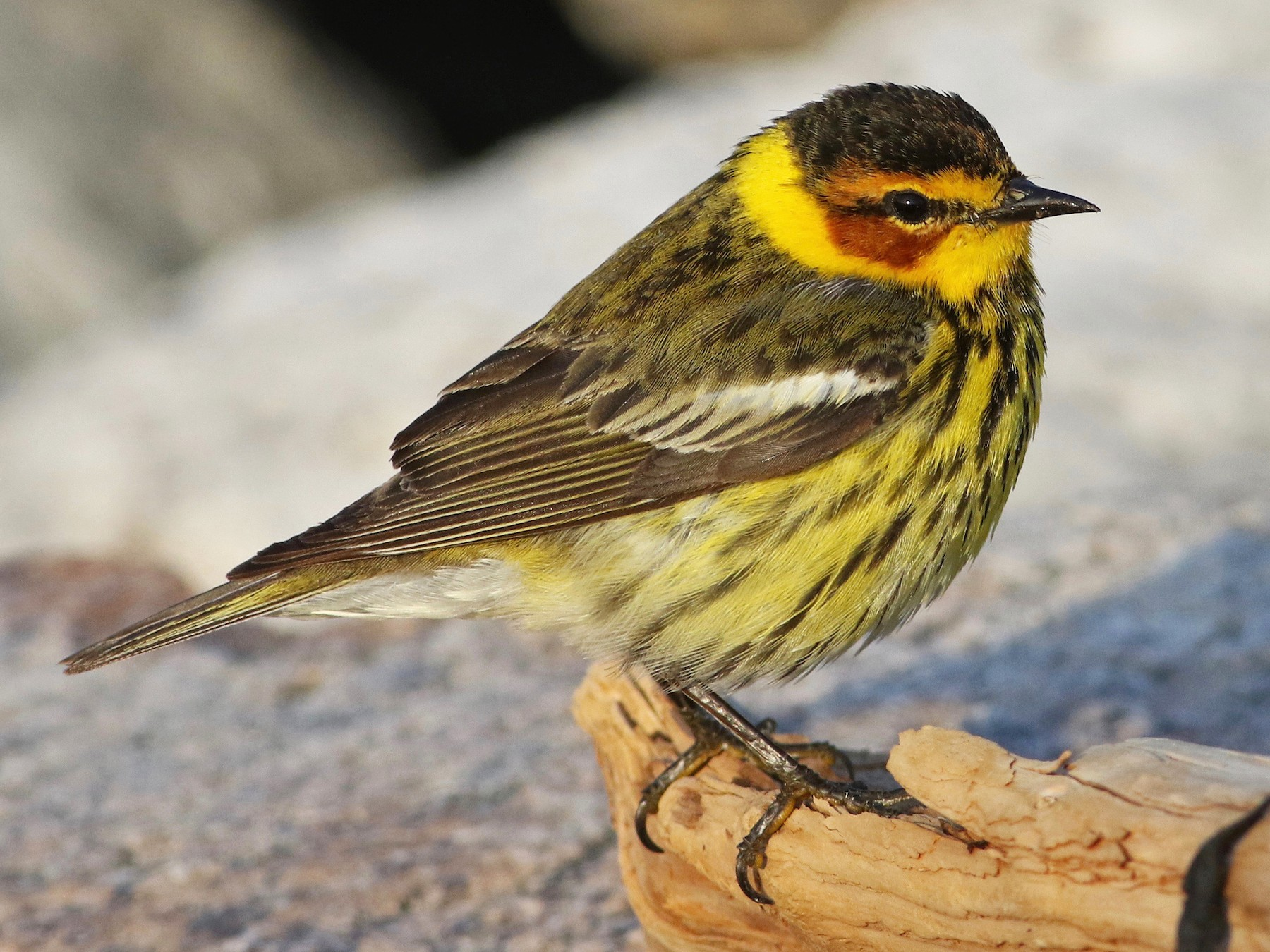 Cape May Warbler - Keenan Yakola