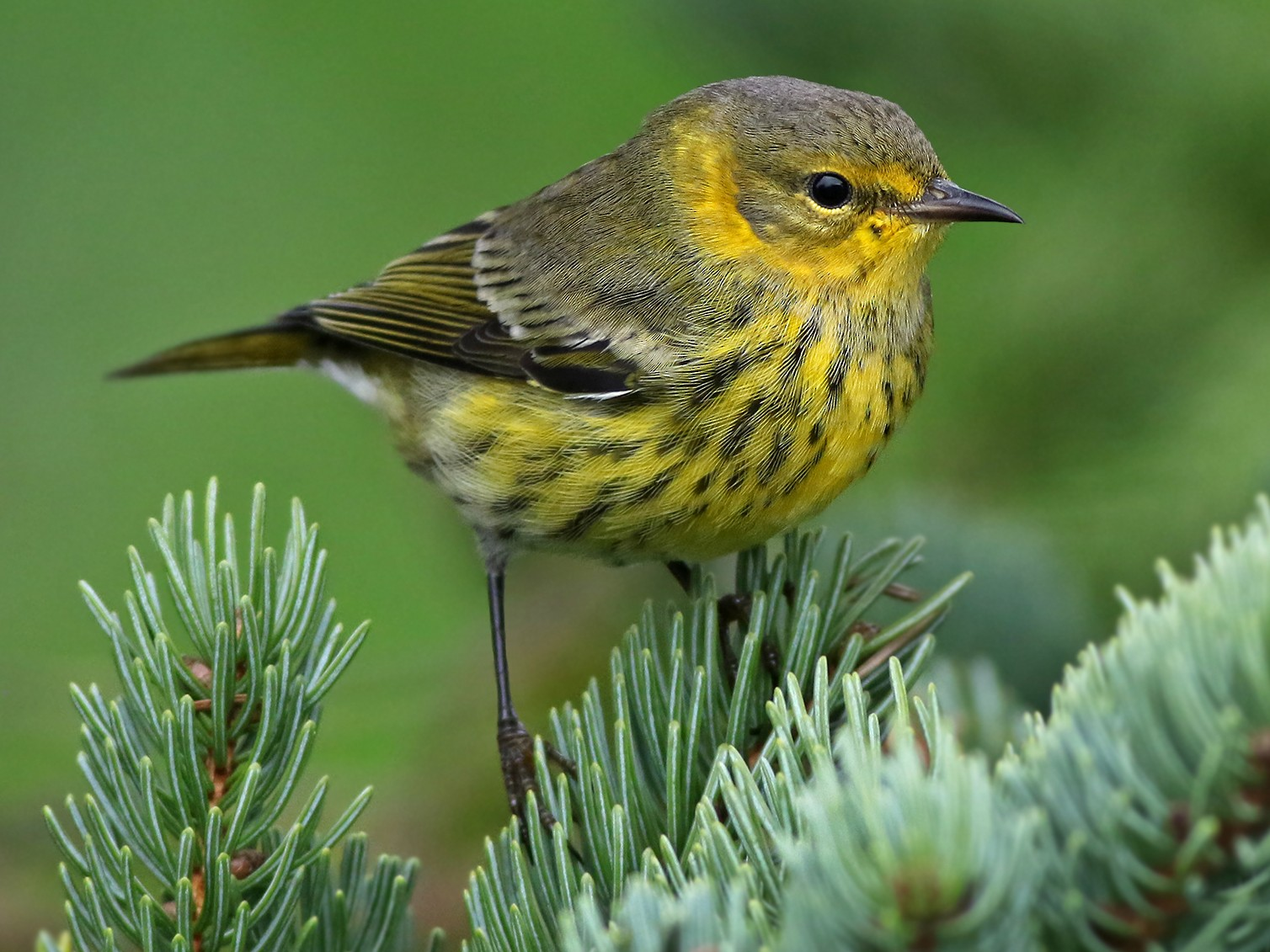 Cape May Warbler - Jeremiah Trimble