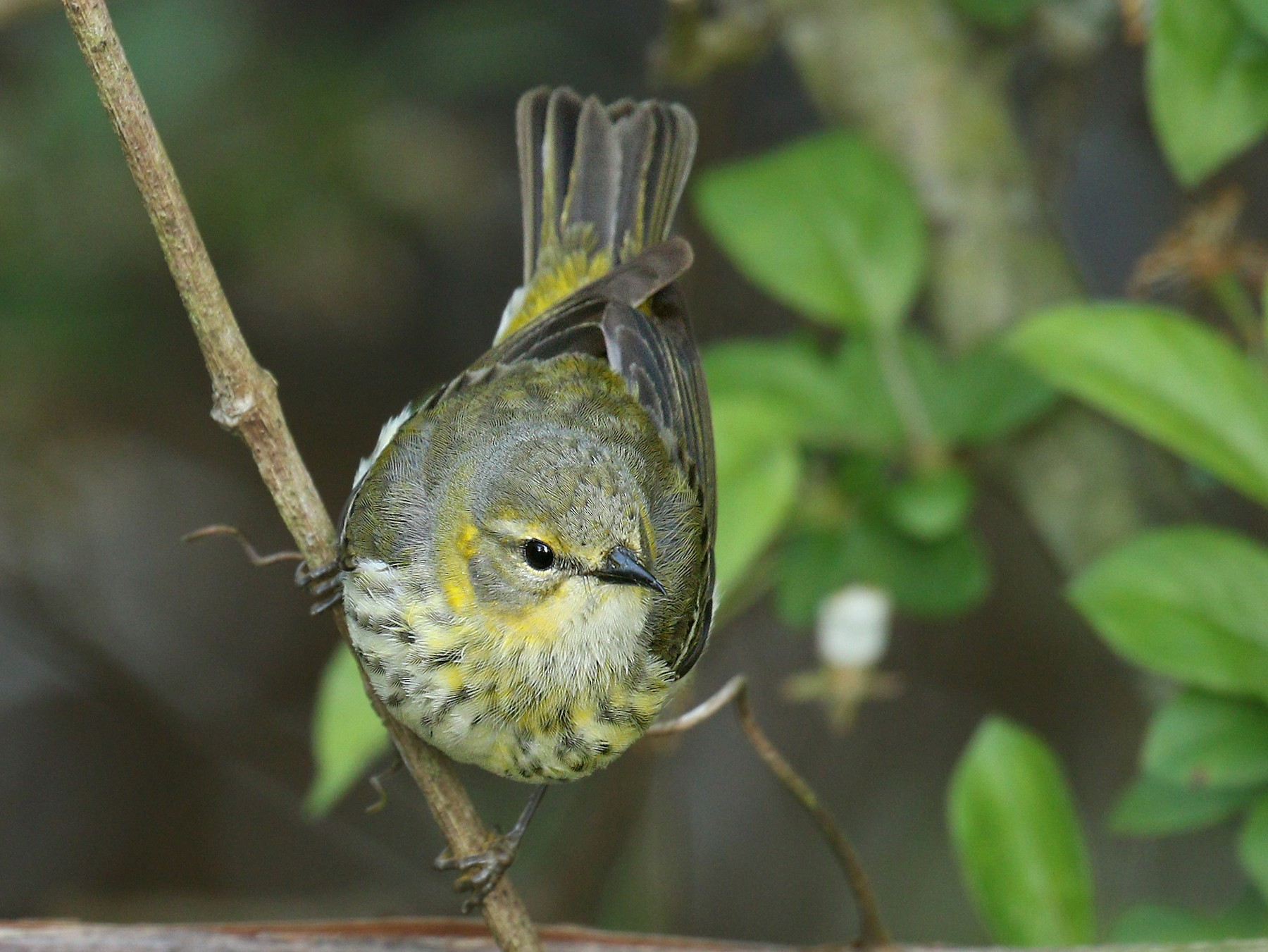 Cape May Warbler - Ryan Schain