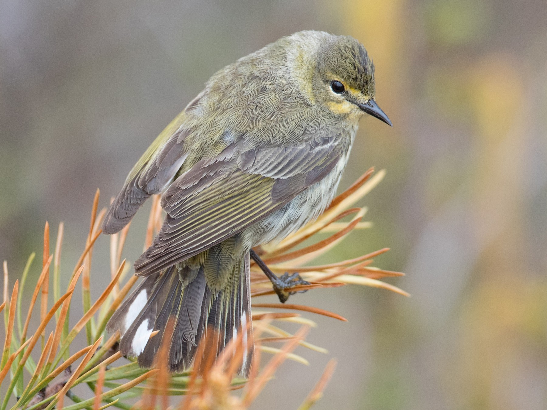 Cape May Warbler - Ian Davies