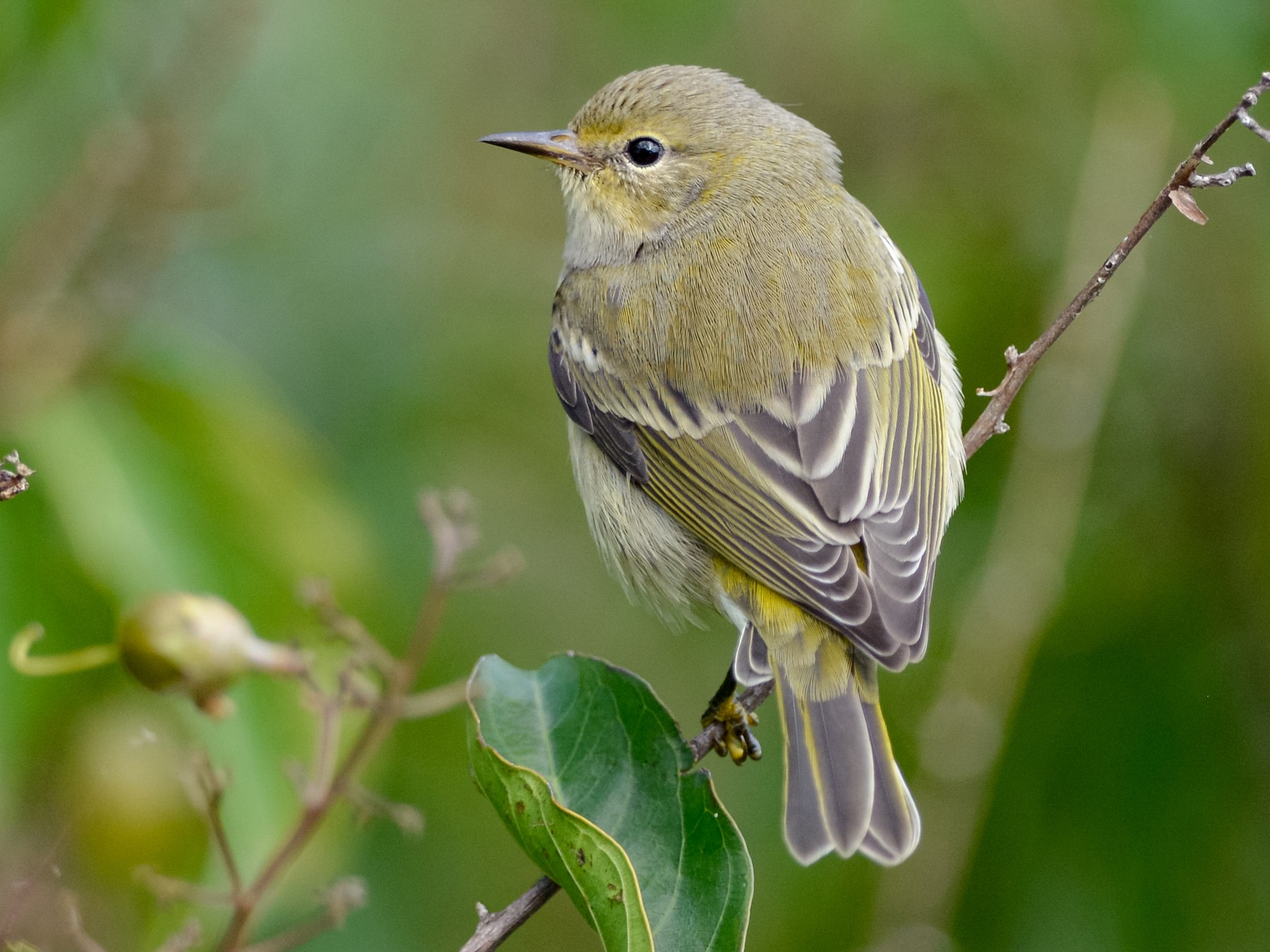 Cape May Warbler - Daniel Irons