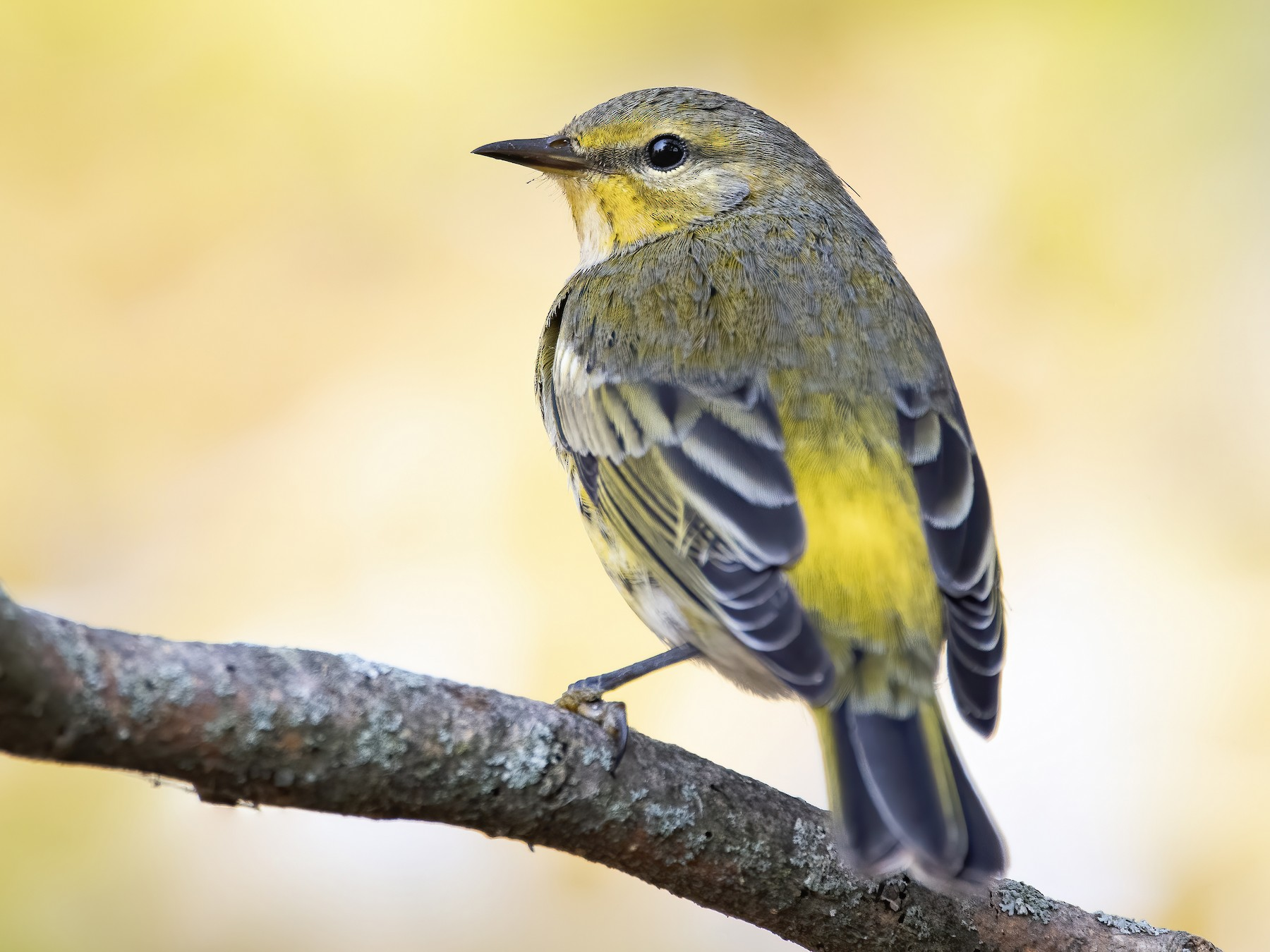 Cape May Warbler - Ryan Sanderson