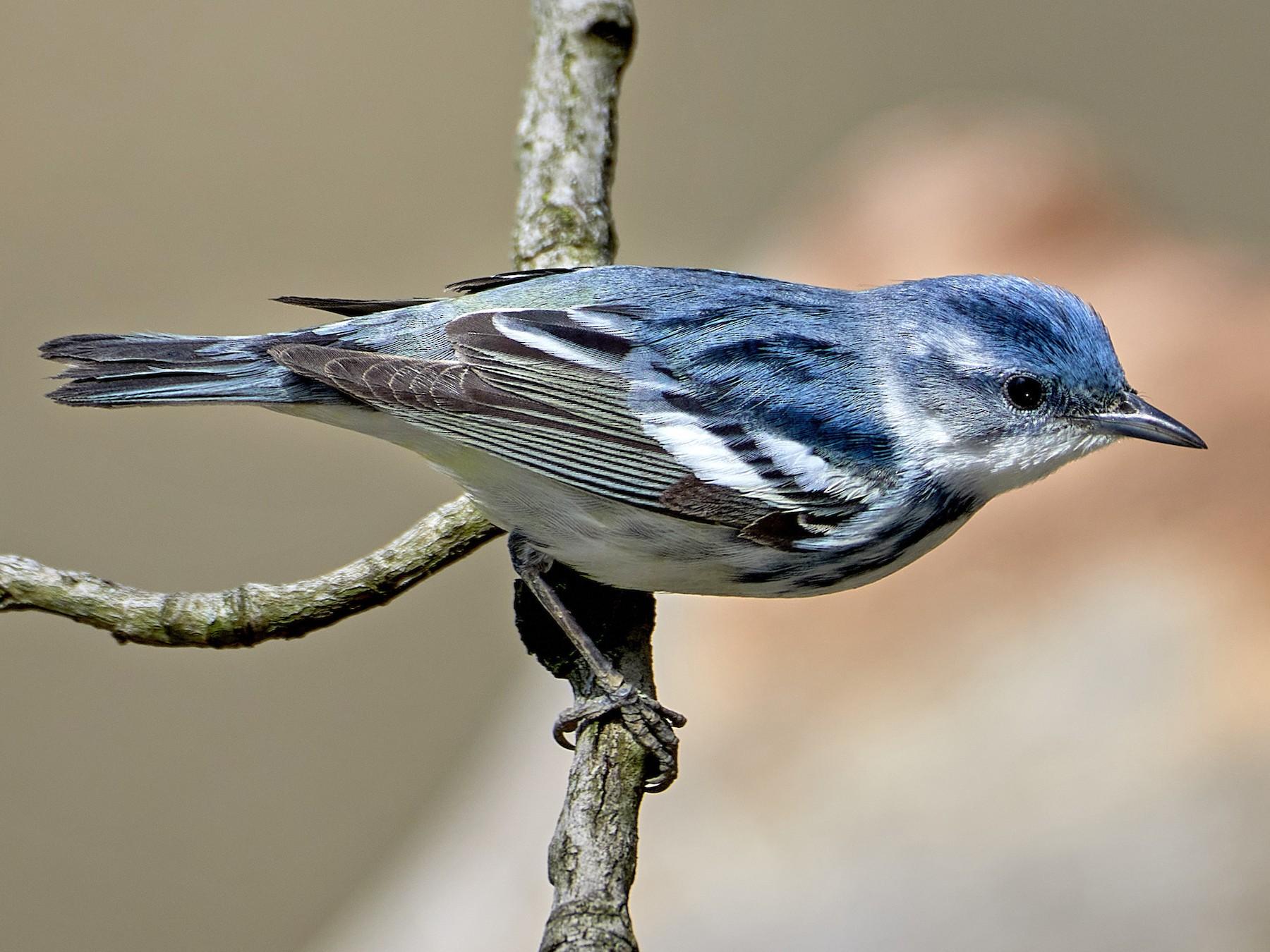 Cerulean Warbler - Pam Linge