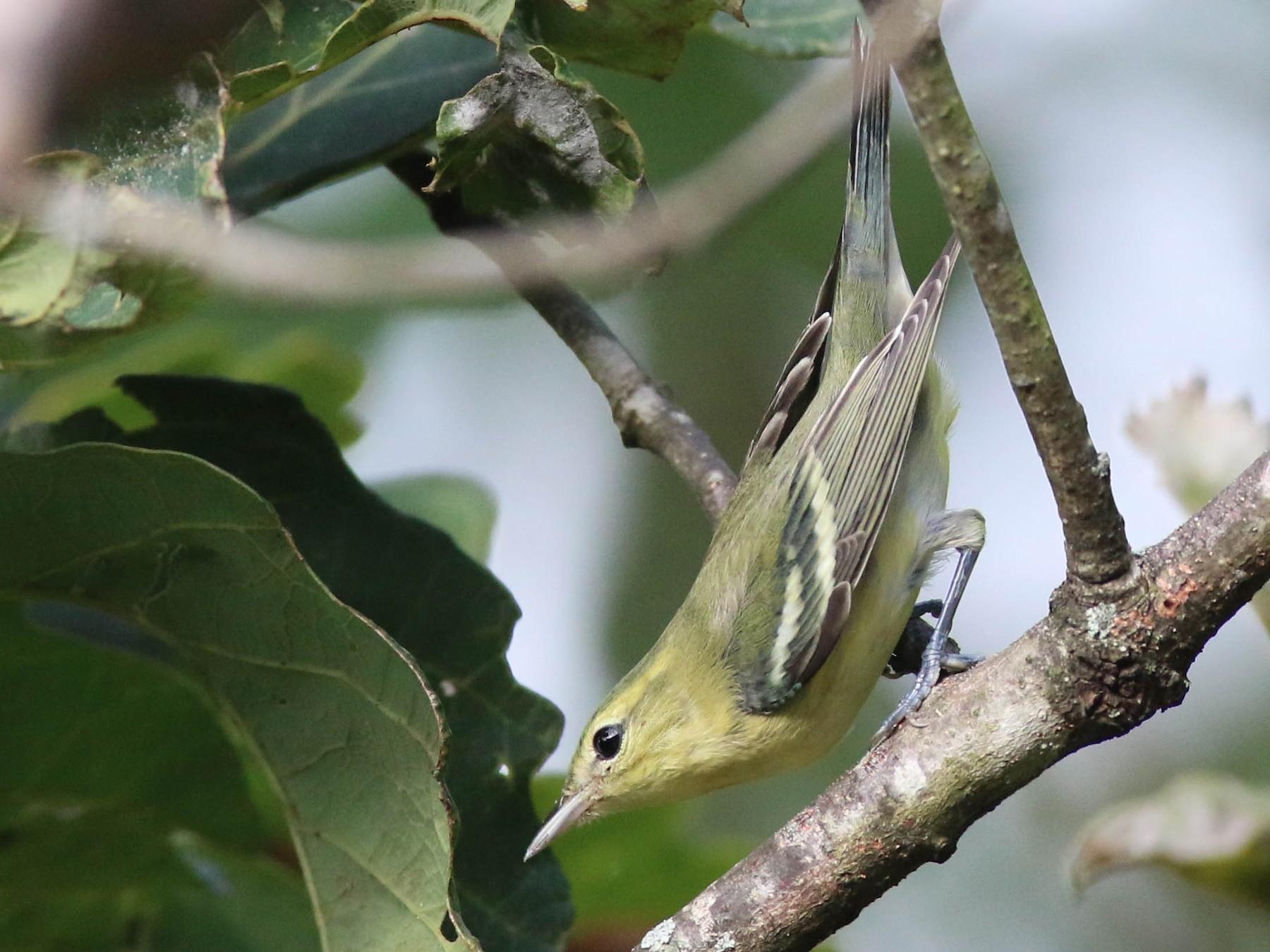 Cerulean Warbler - Gene Koziara