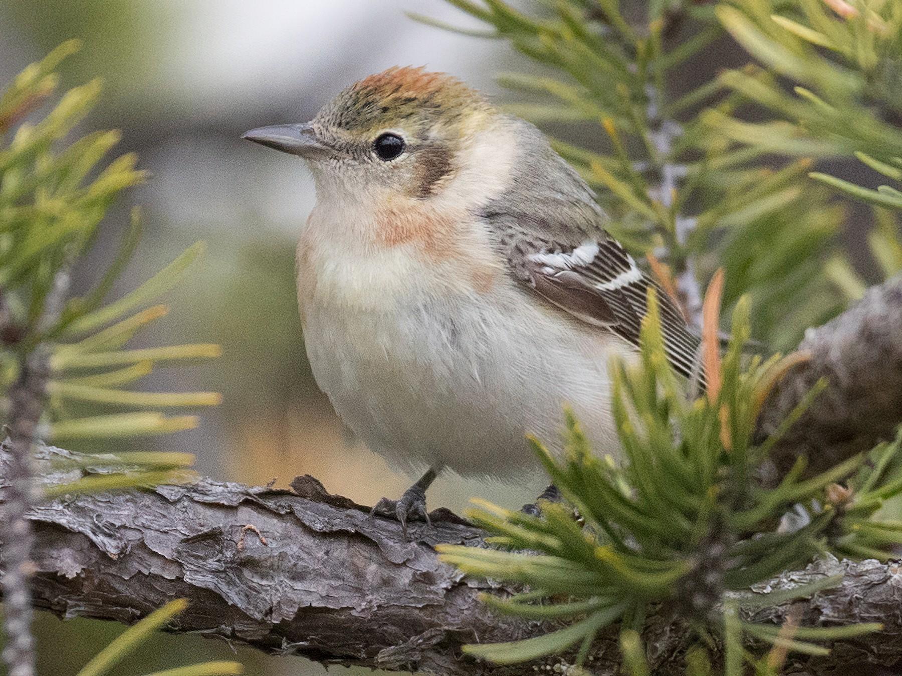 Bay-breasted Warbler - Ian Davies