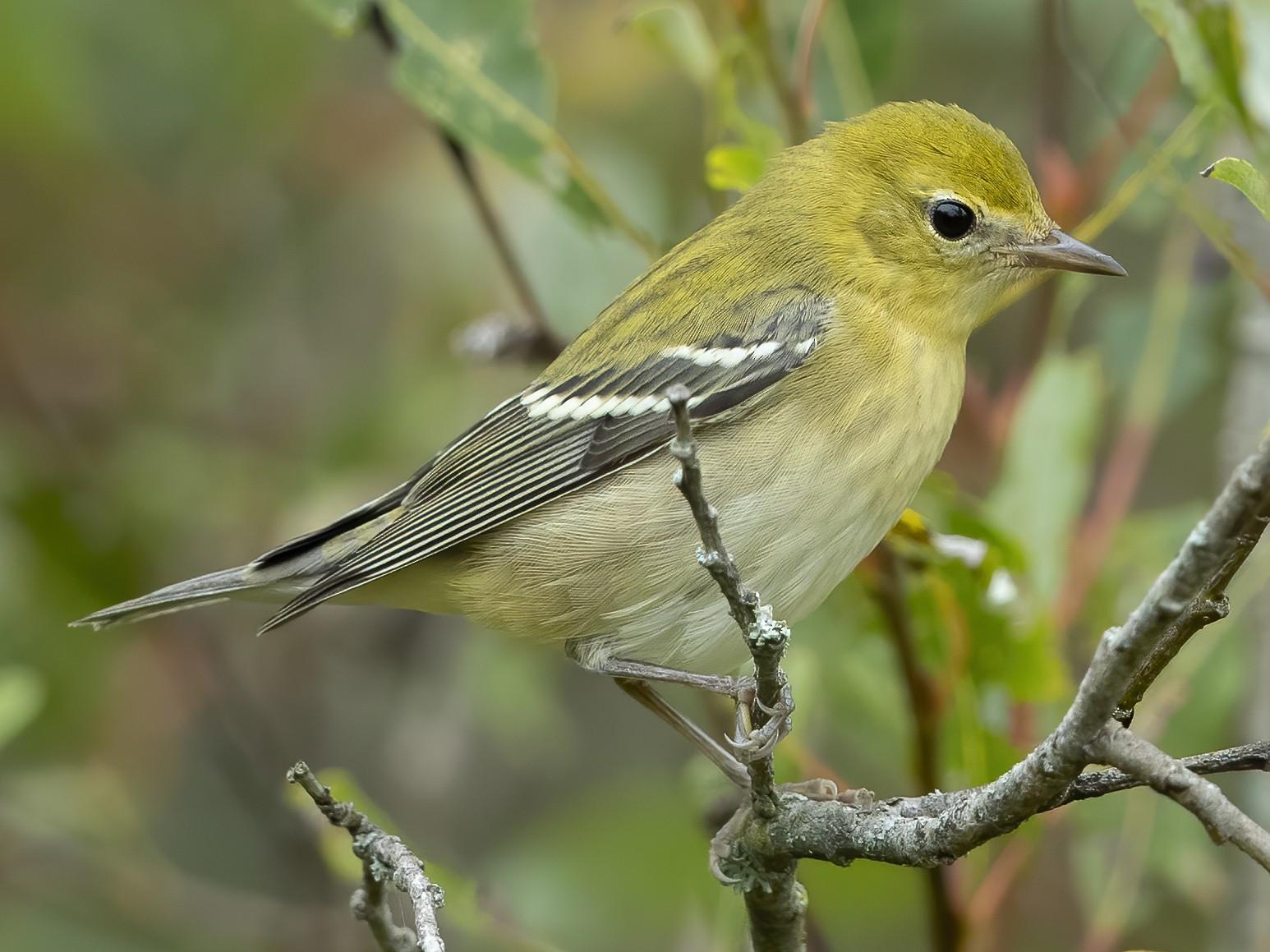 Bay-breasted Warbler - Peter Hawrylyshyn