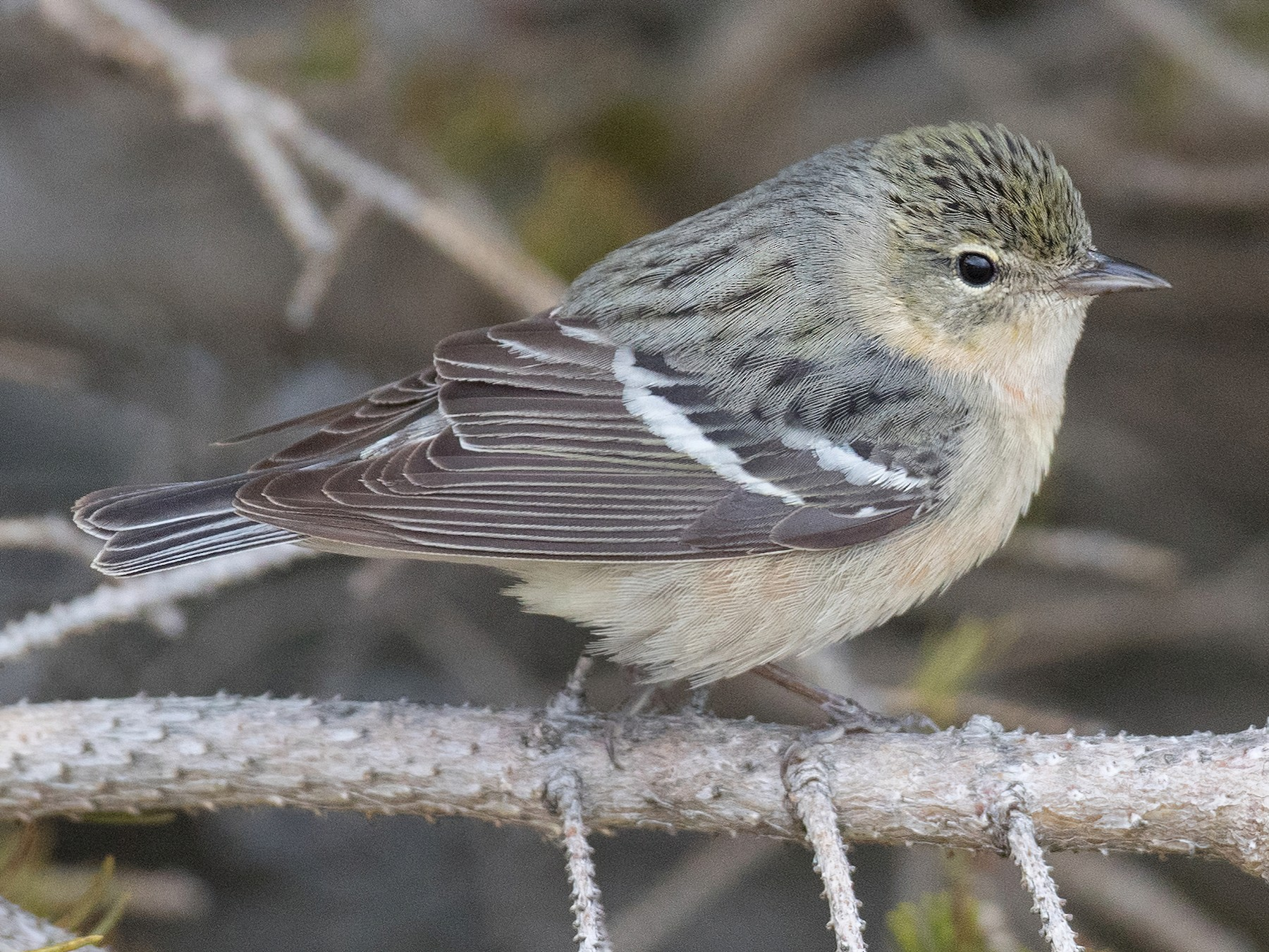 Bay-breasted Warbler - Ian Davies