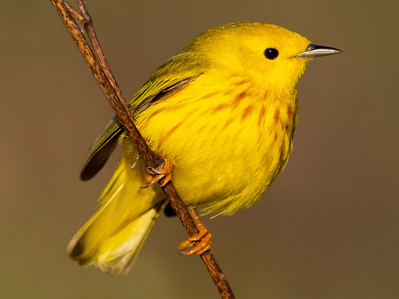 Yellow Warbler - Brad Imhoff