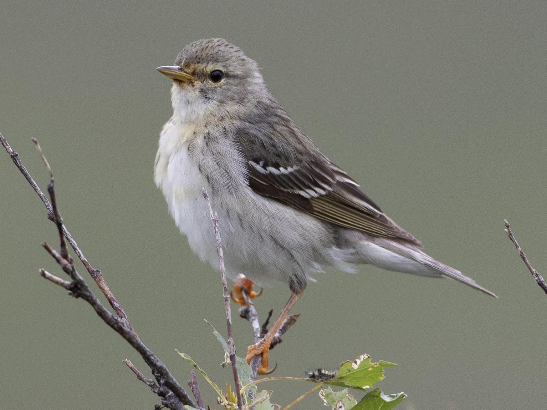 Blackpoll Warbler - Brian Sullivan
