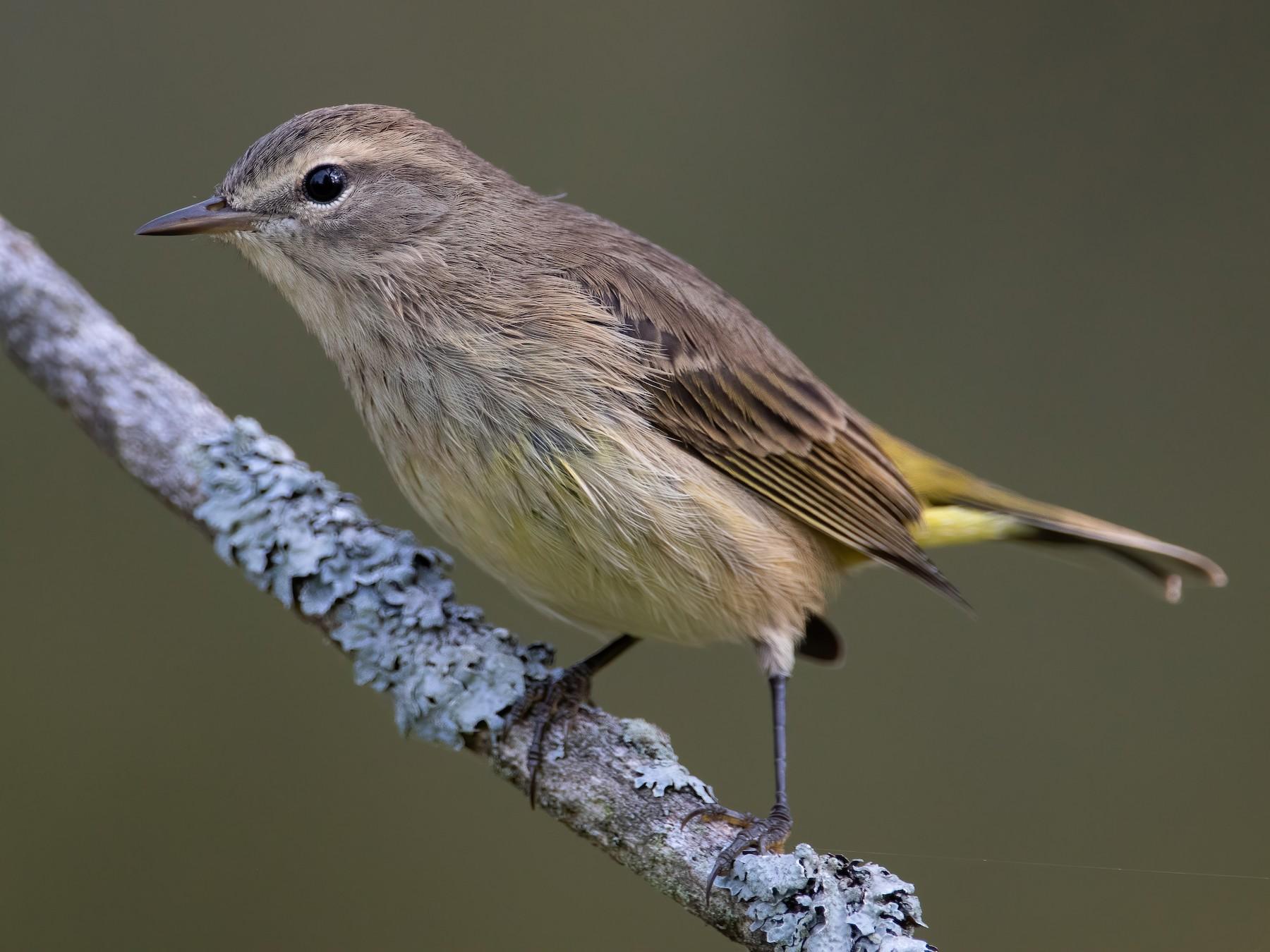 Palm Warbler - Blair Dudeck