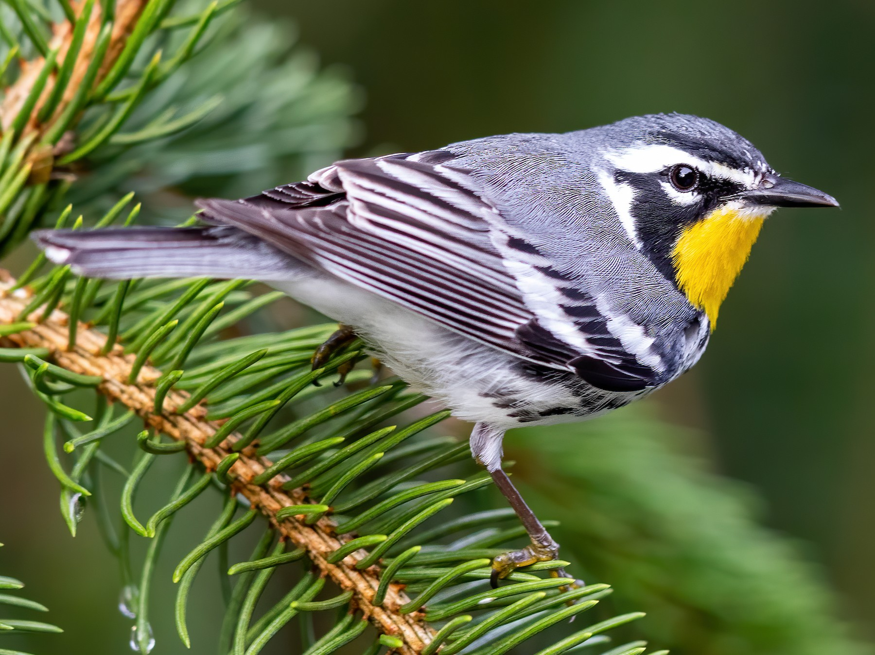 Yellow-throated Warbler - Brad Imhoff