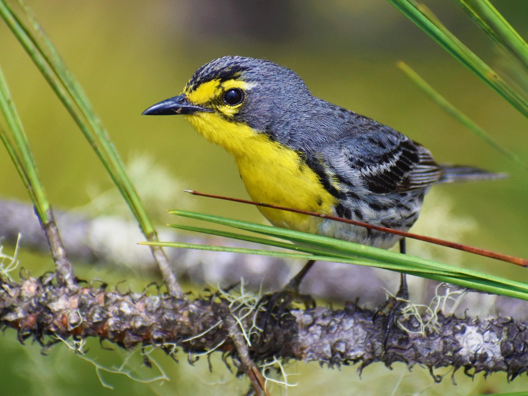 Grace's Warbler - Blancaneaux Lodge Mnt pine ridge
