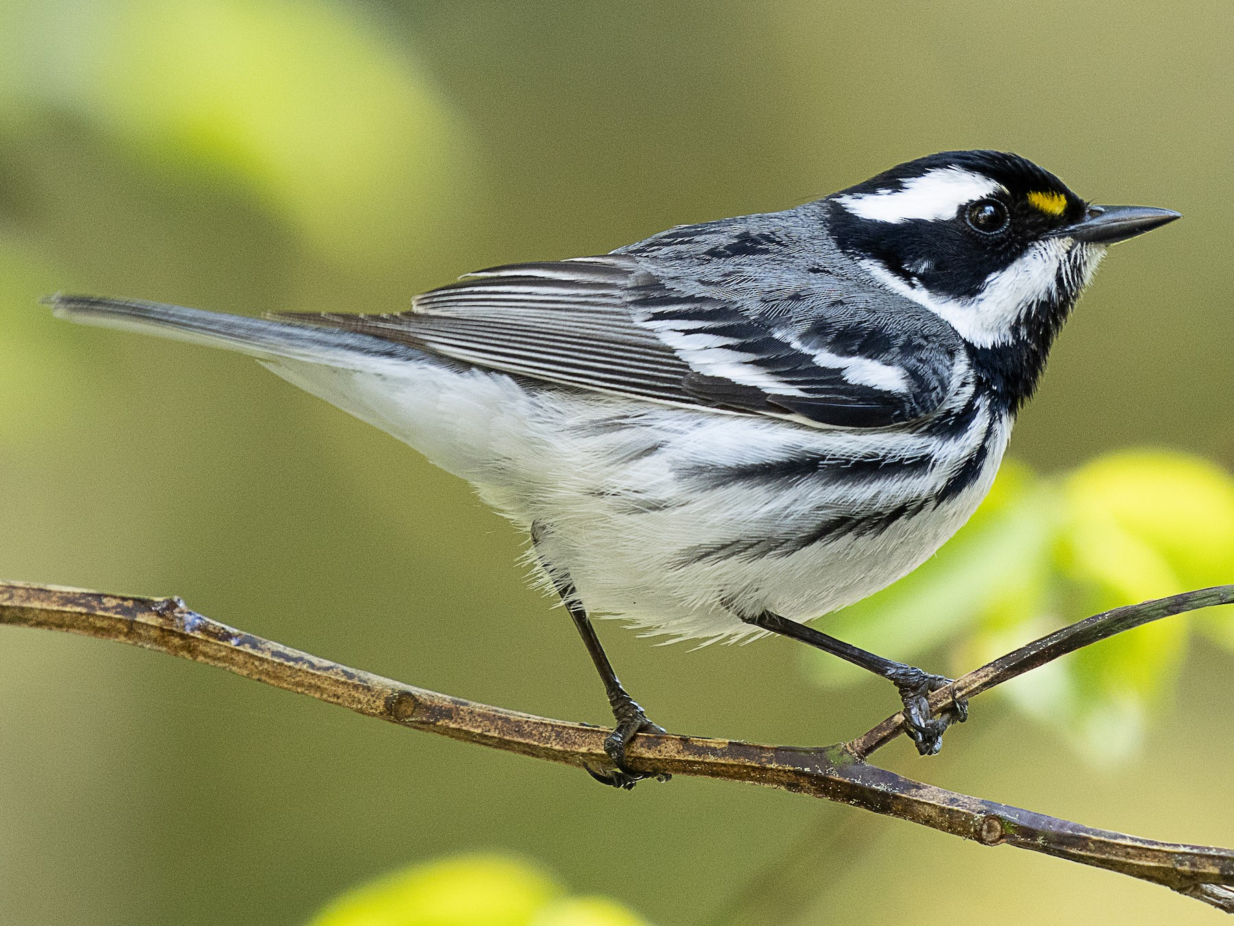 Black-throated Gray Warbler - mark daly