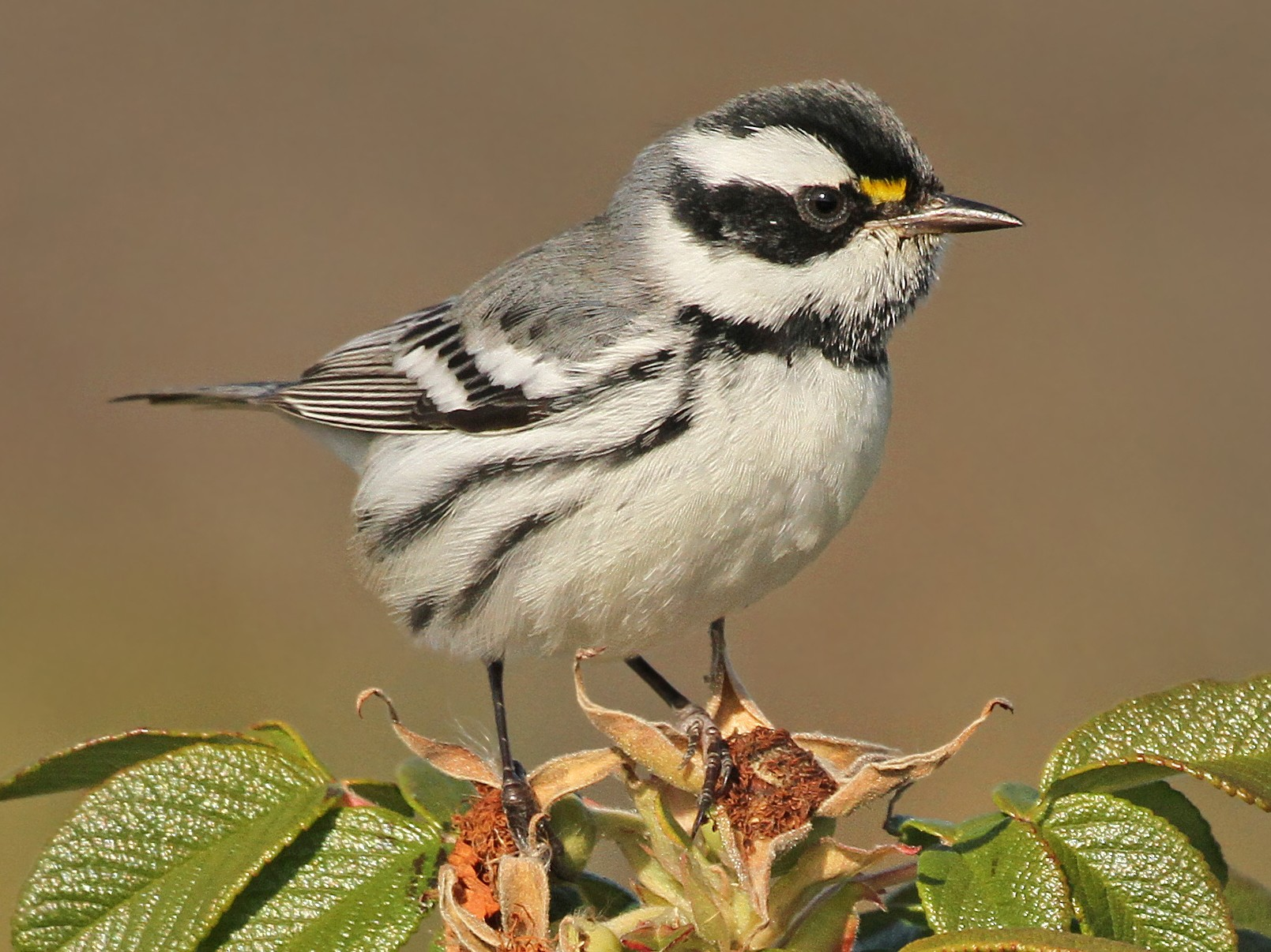 Black-throated Gray Warbler - Jeffrey Offermann