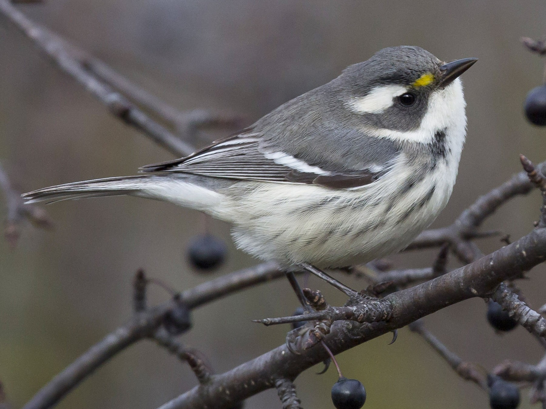 Black-throated Gray Warbler - Tom Devecseri