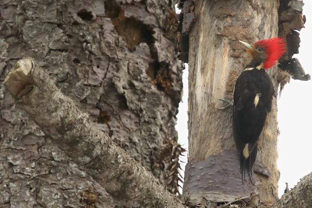 Helmeted Woodpecker