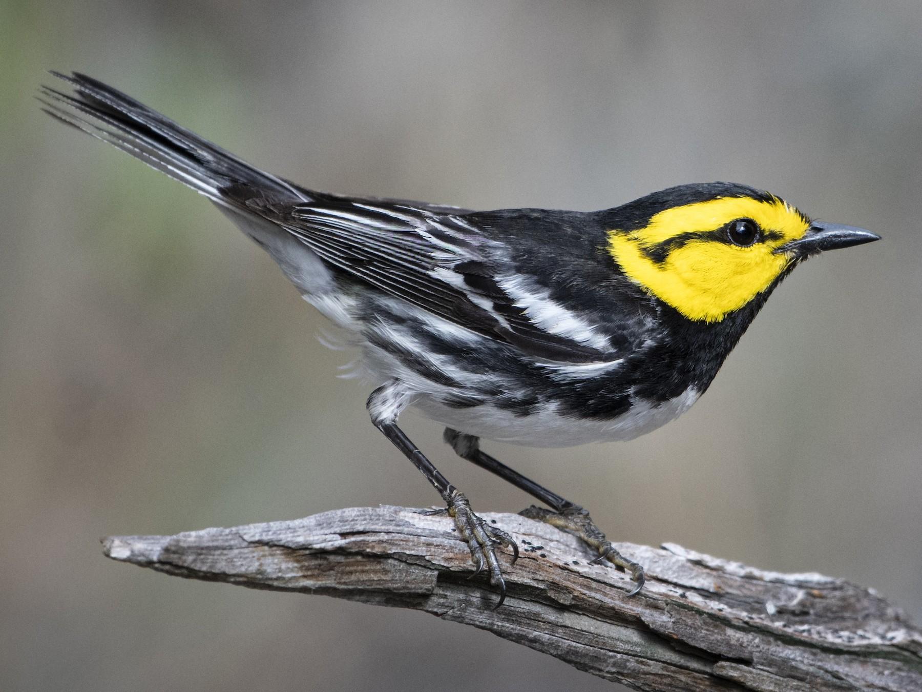 Golden-cheeked Warbler - Bryan Calk