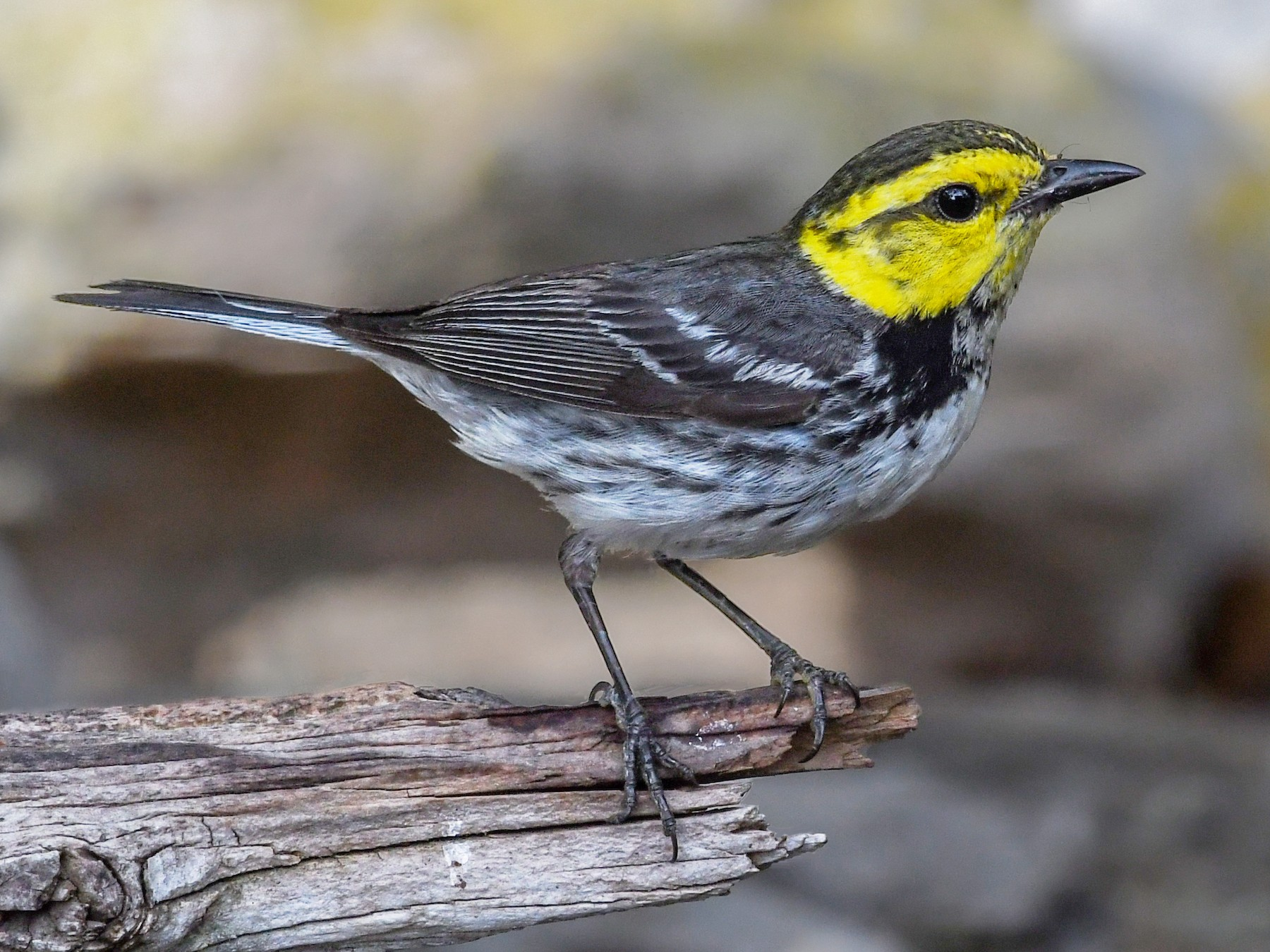 Golden-cheeked Warbler - Lila Theis