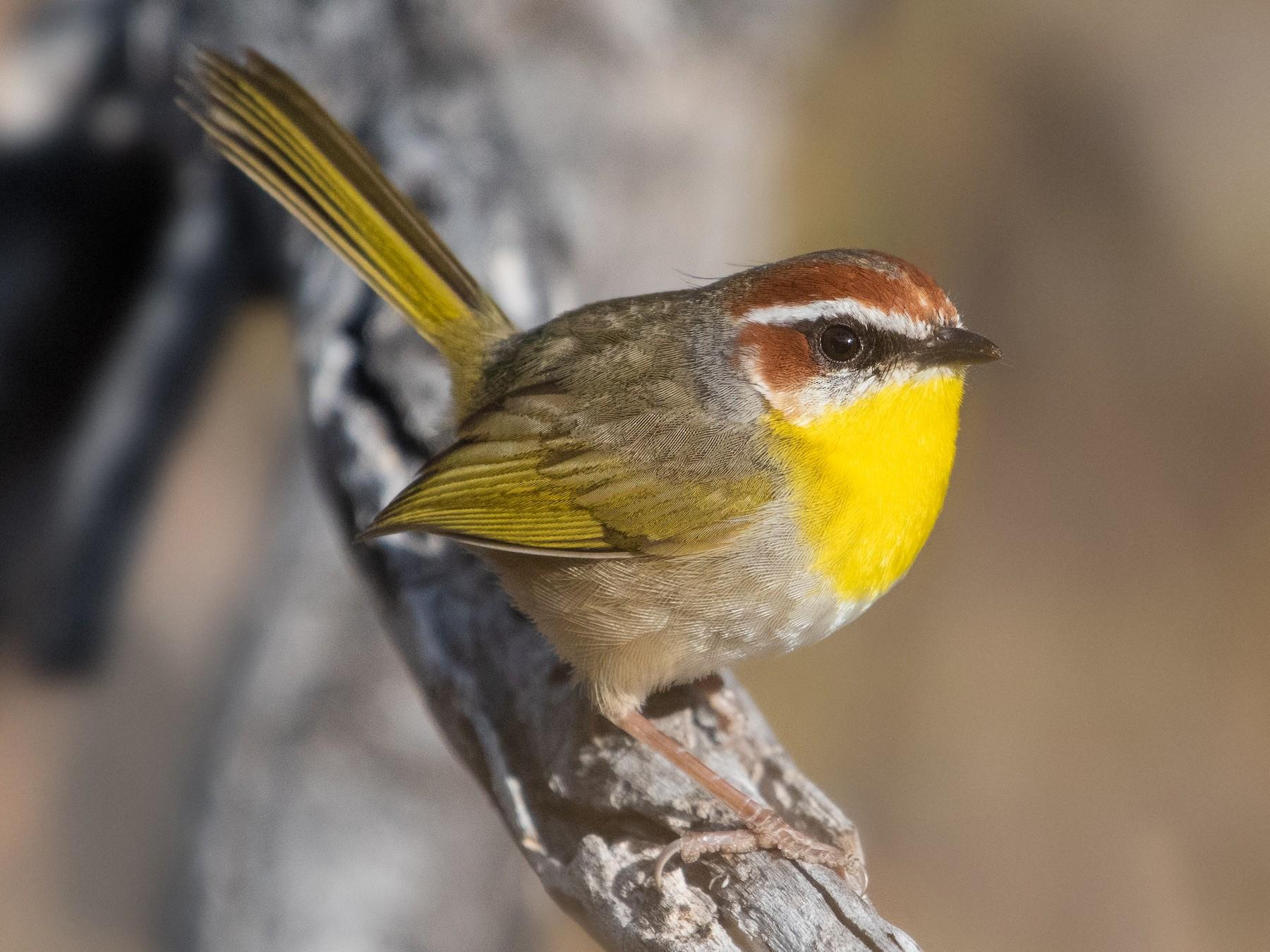 Rufous-capped Warbler - Adam Jackson