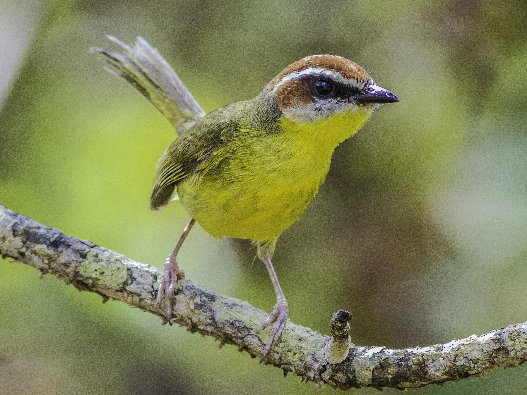 Rufous-capped Warbler - Roni Martinez
