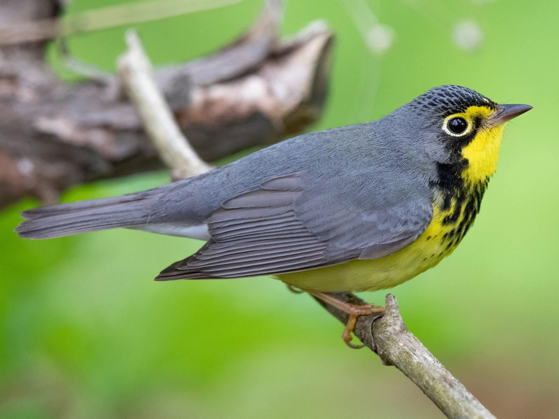 Canada Warbler - Tony Dvorak