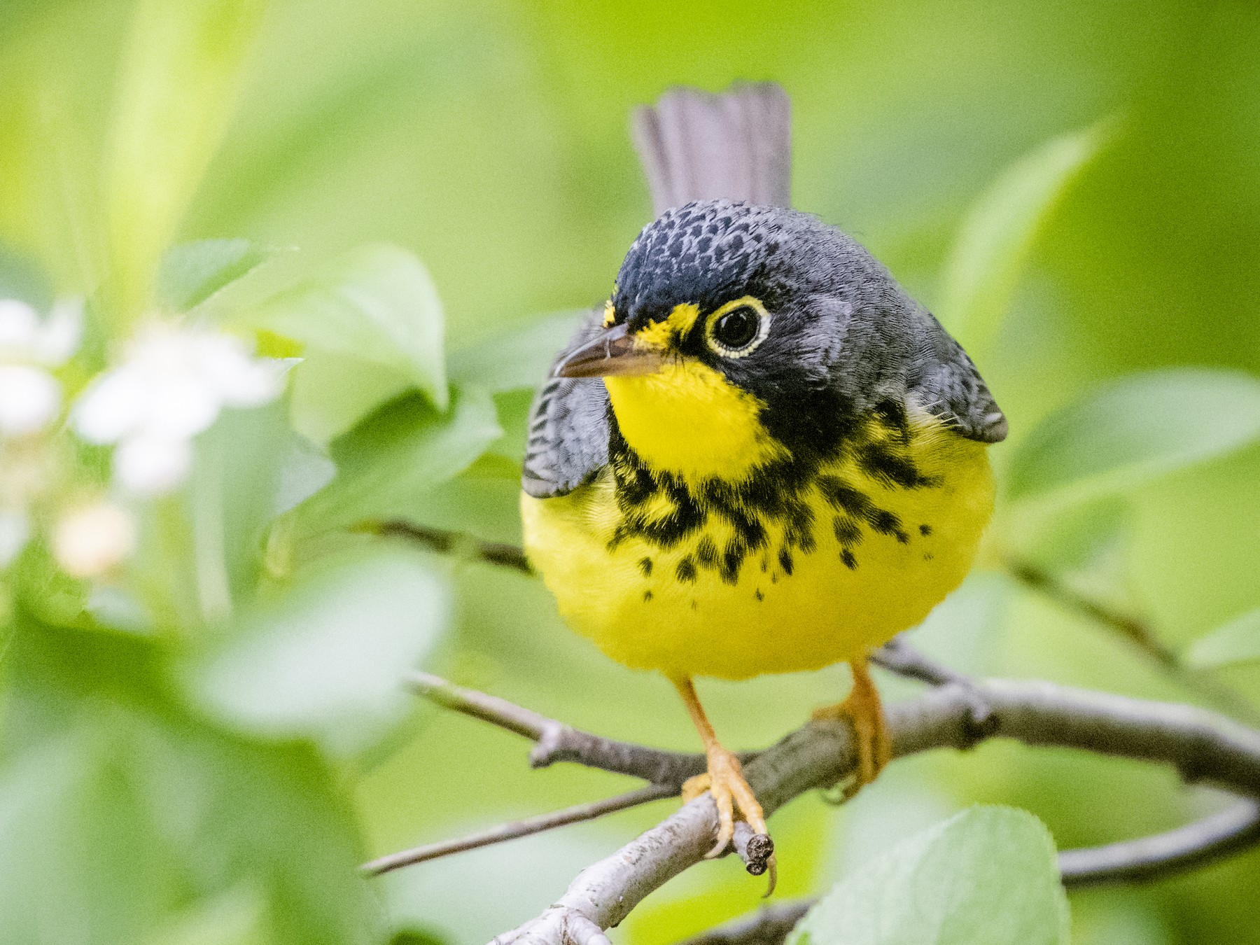 Canada Warbler - Bryan Calk