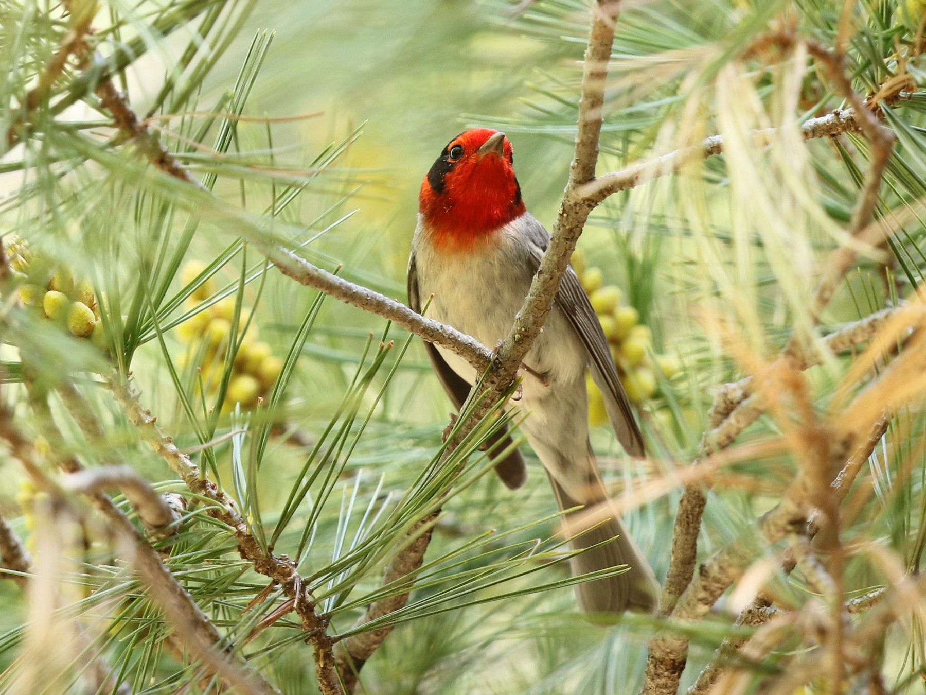 Red-faced Warbler - Bob Friedrichs