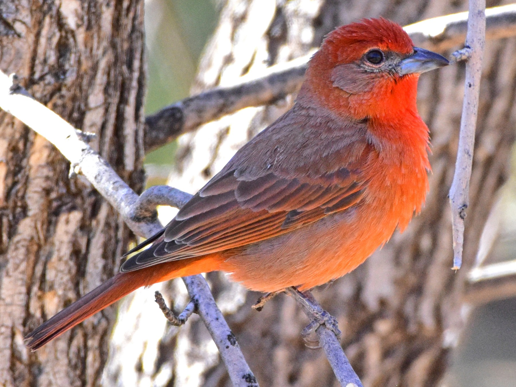 Hepatic Tanager - Nate Gowan