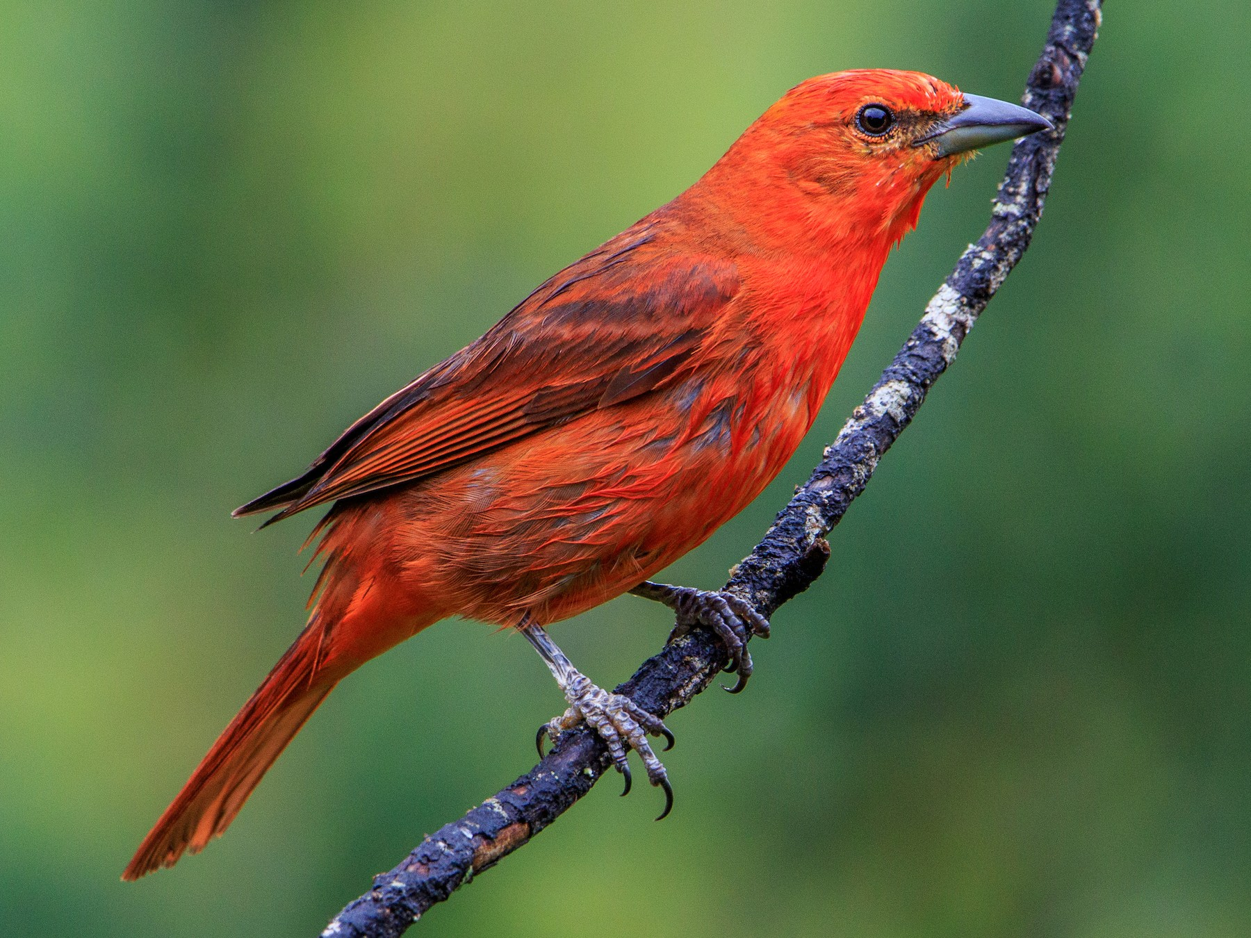 Hepatic Tanager - Fernando Farias