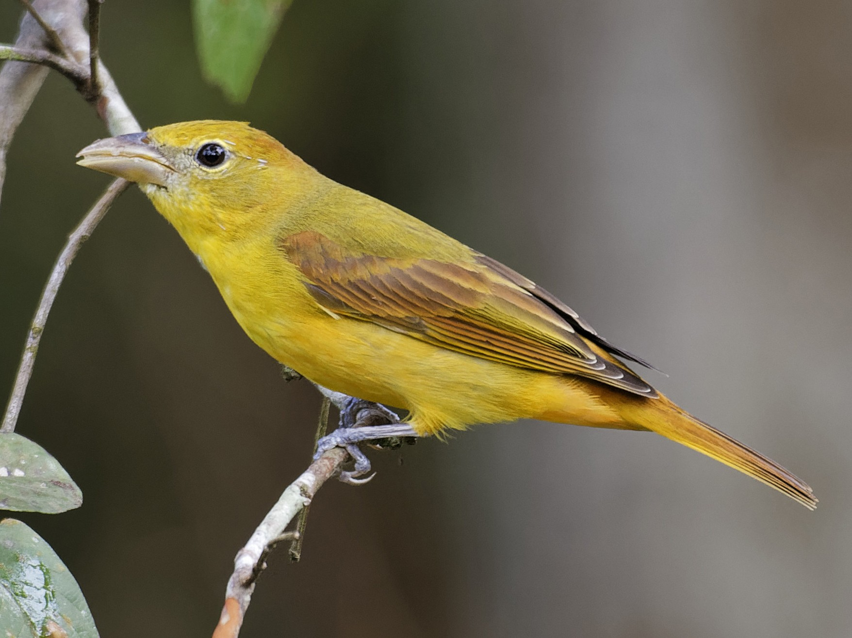 Summer Tanager - Don Danko