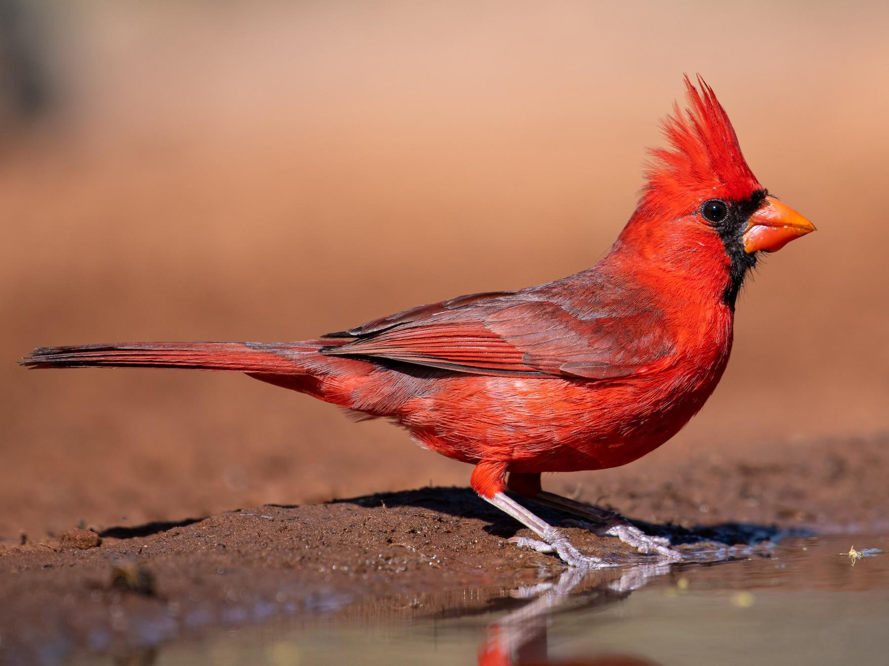 Northern Cardinal - Suzie McCann
