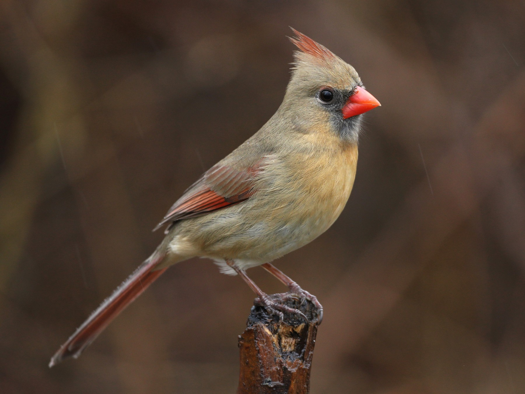 Northern Cardinal - Peter Finley