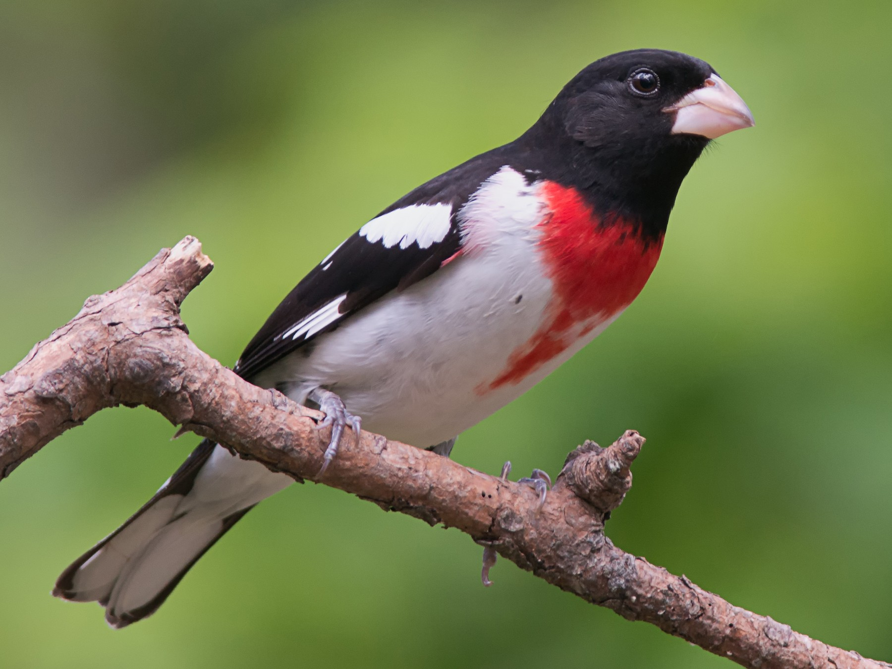 Rose-breasted Grosbeak - Tom Snow