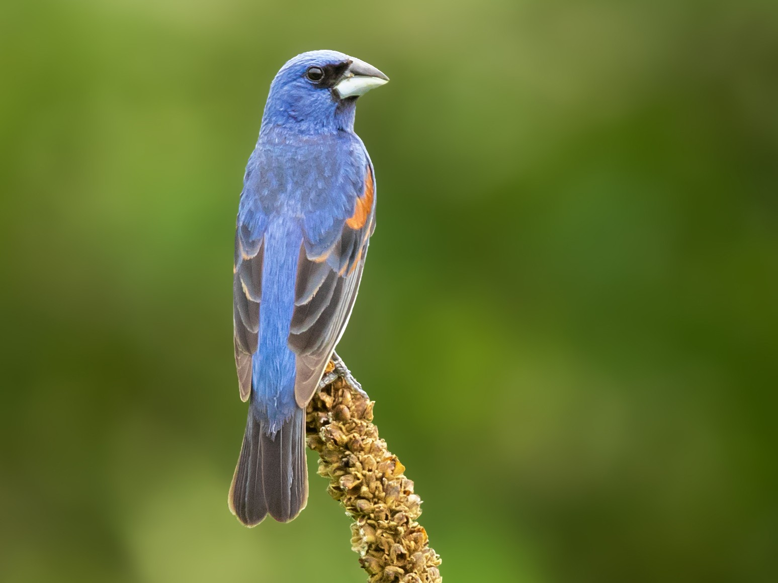 Blue Grosbeak - Brad Imhoff