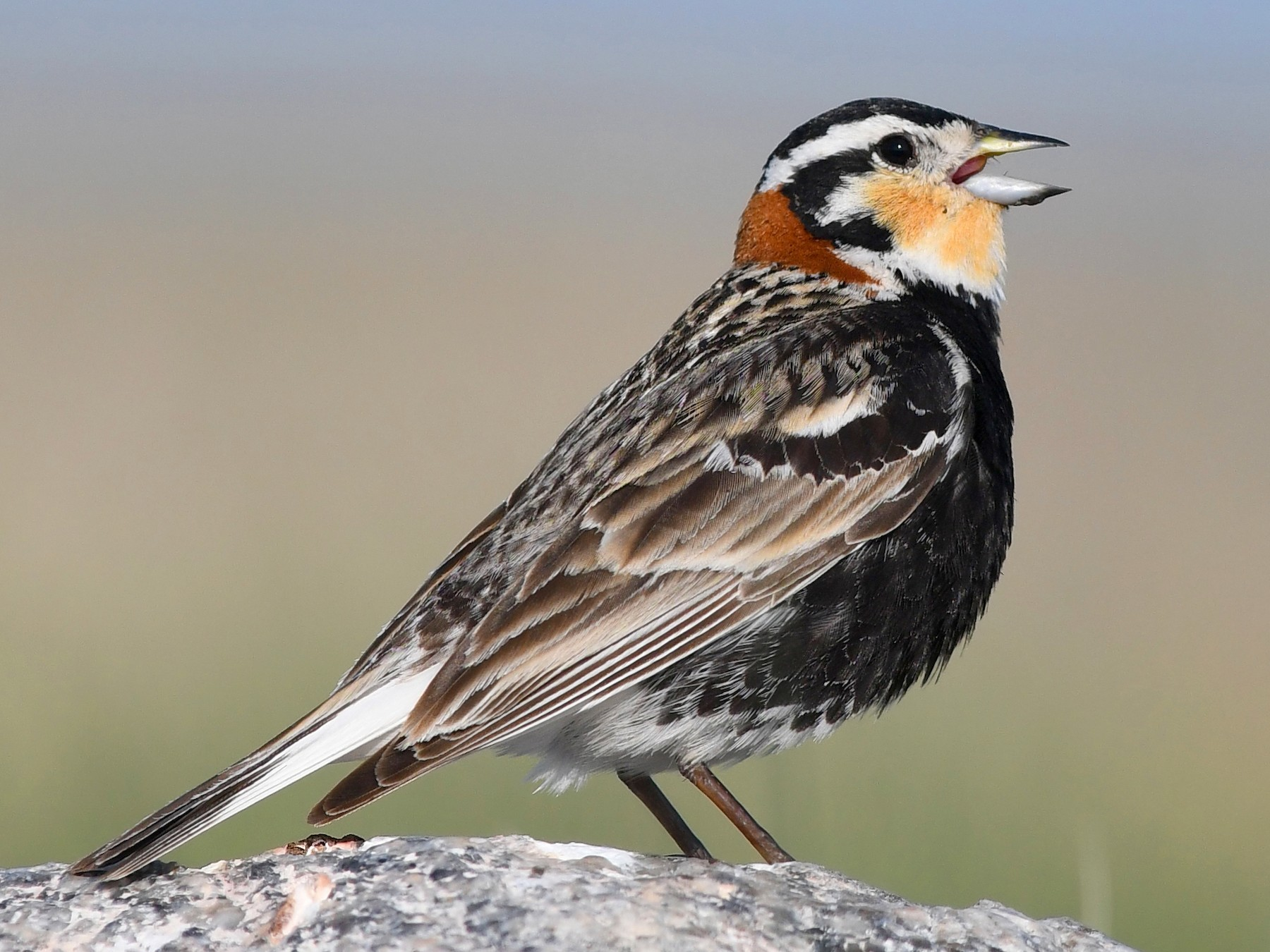 Chestnut-collared Longspur - David M. Bell