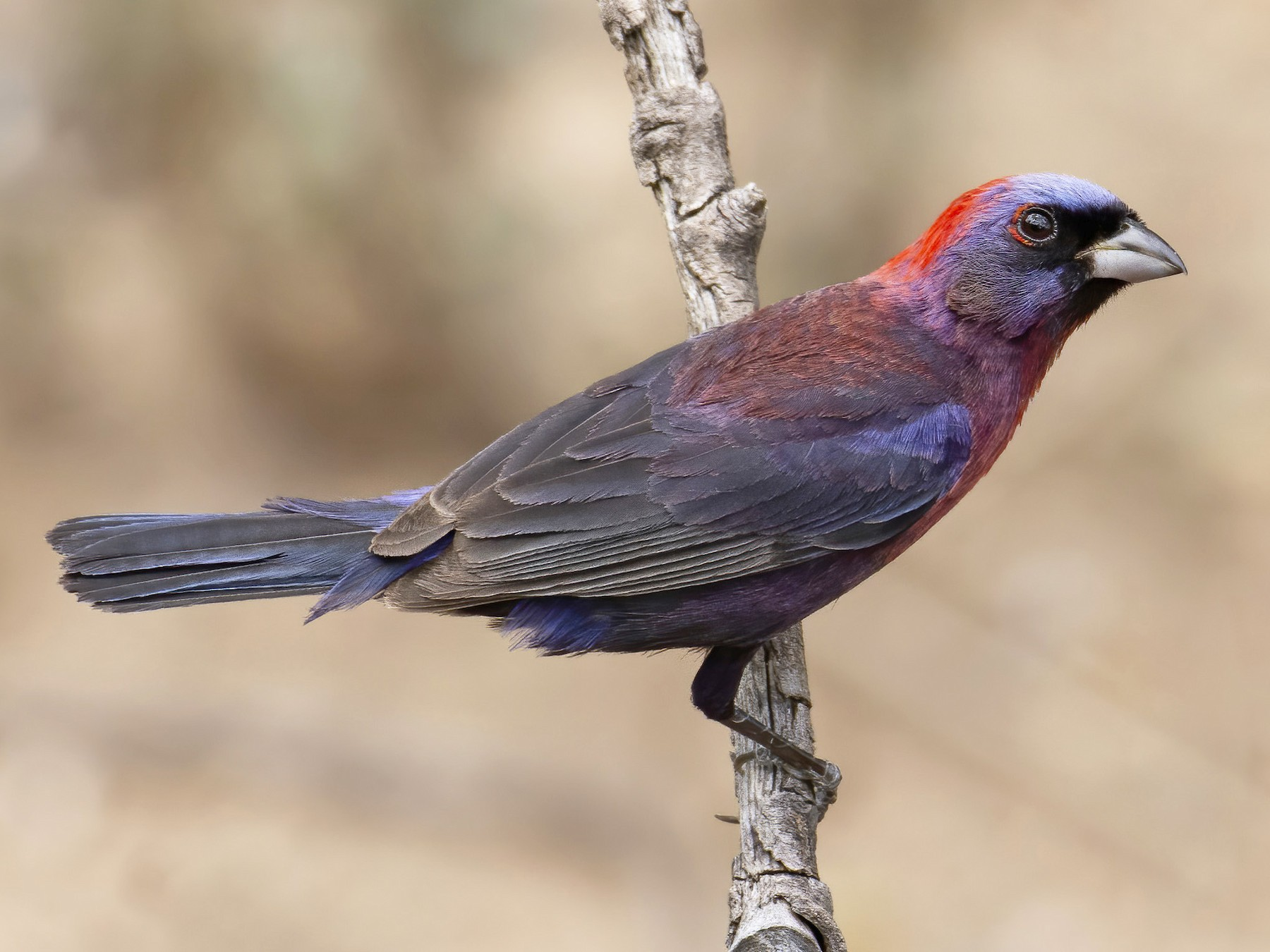 Varied Bunting - Marky Mutchler