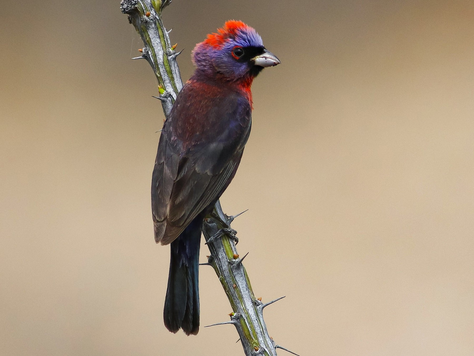 Varied Bunting - Max Nootbaar