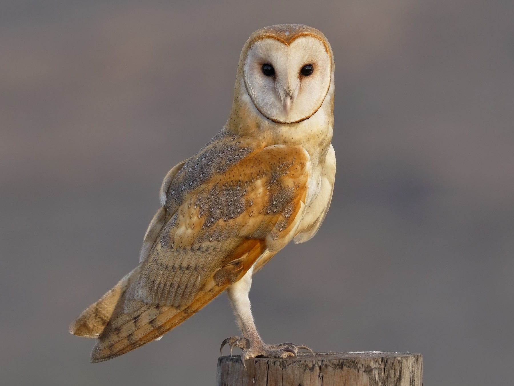 Barn Owl - Sharif Uddin