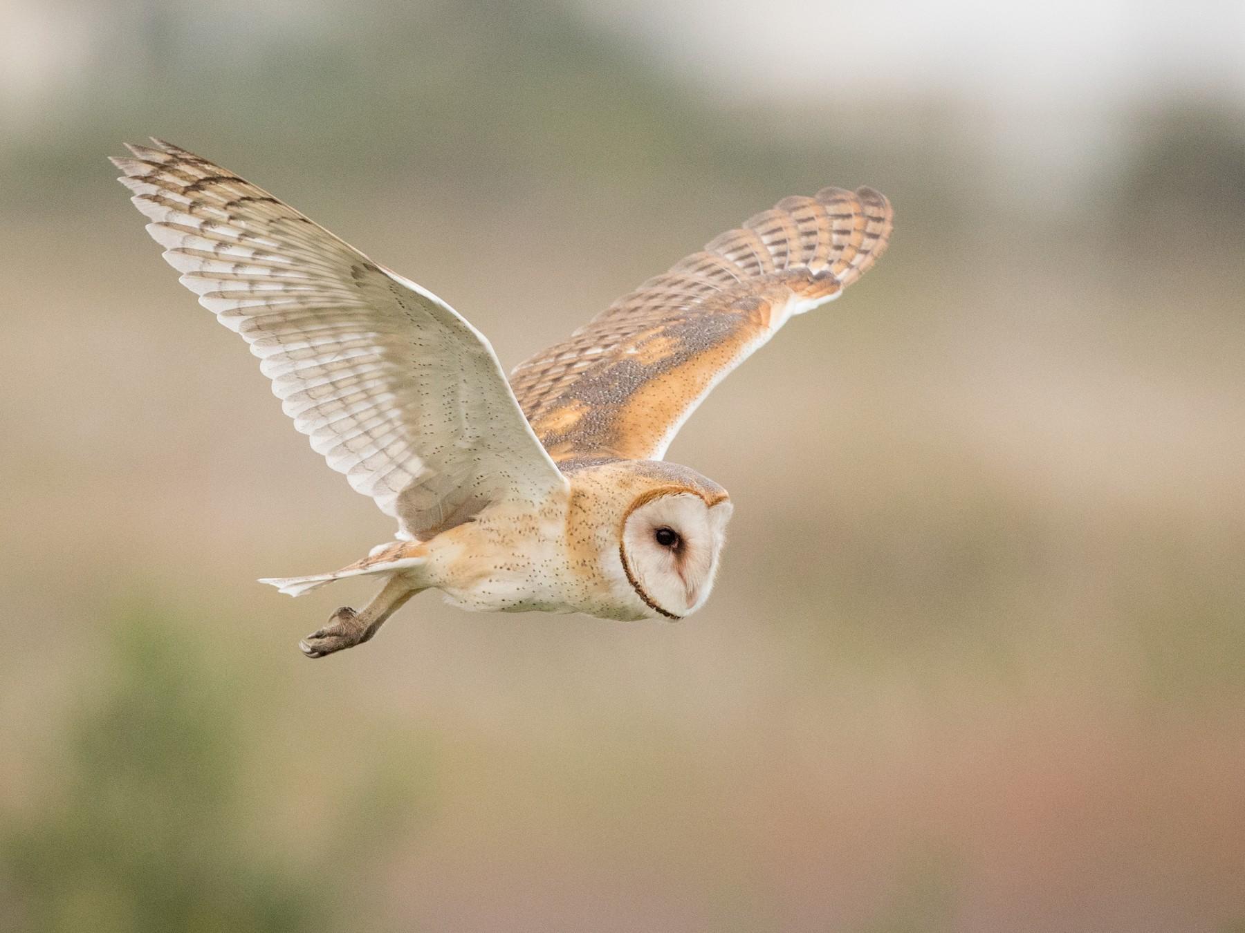 Barn Owl - Ian Davies